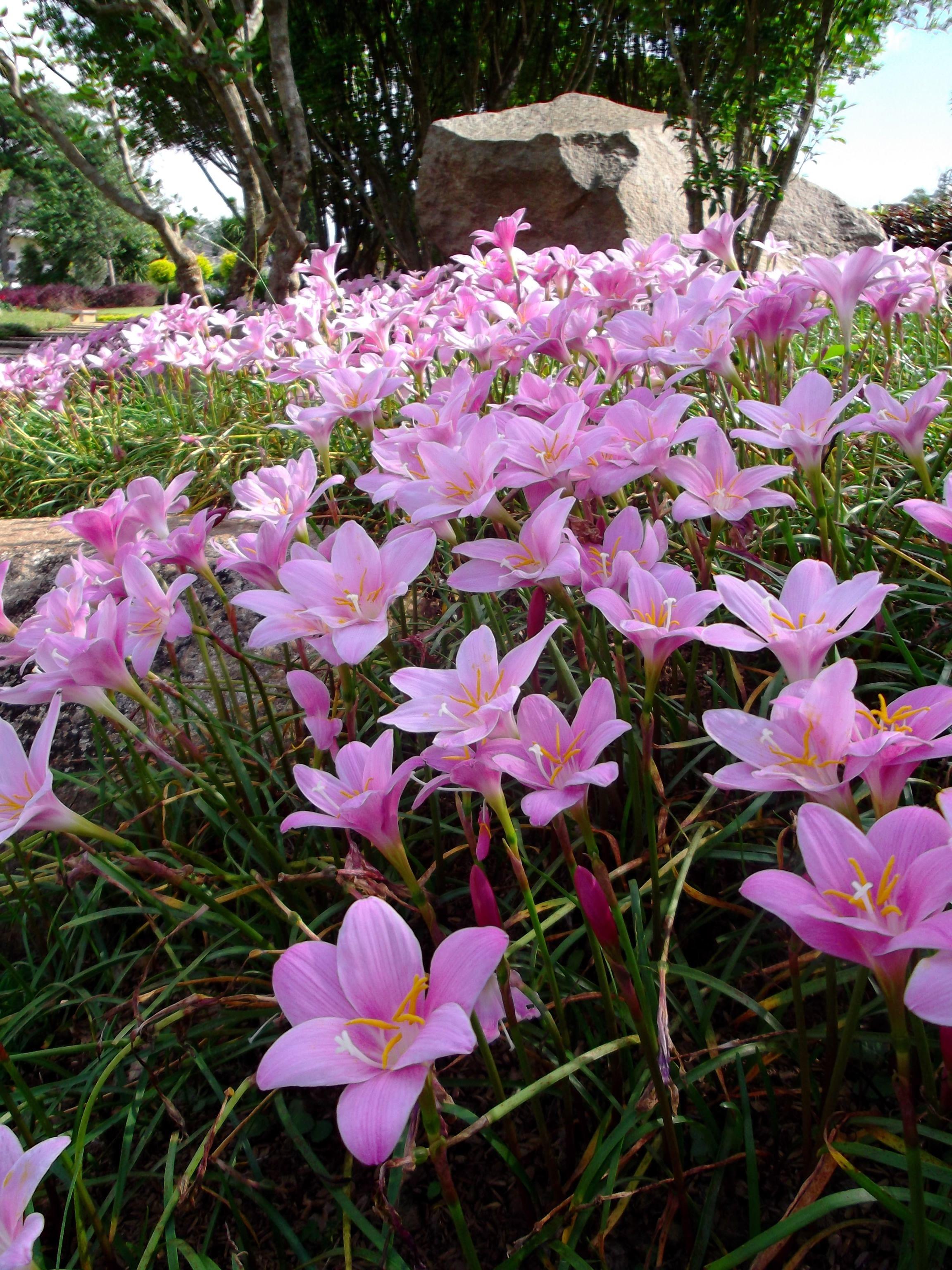 Bloggang ฟ้าใสวันใภม่ บัวดิน Rain Lily