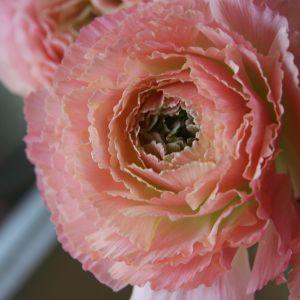 Ranunculus Flower Fresh Ranunculus 千穂だ奏 Chiho No Kanade