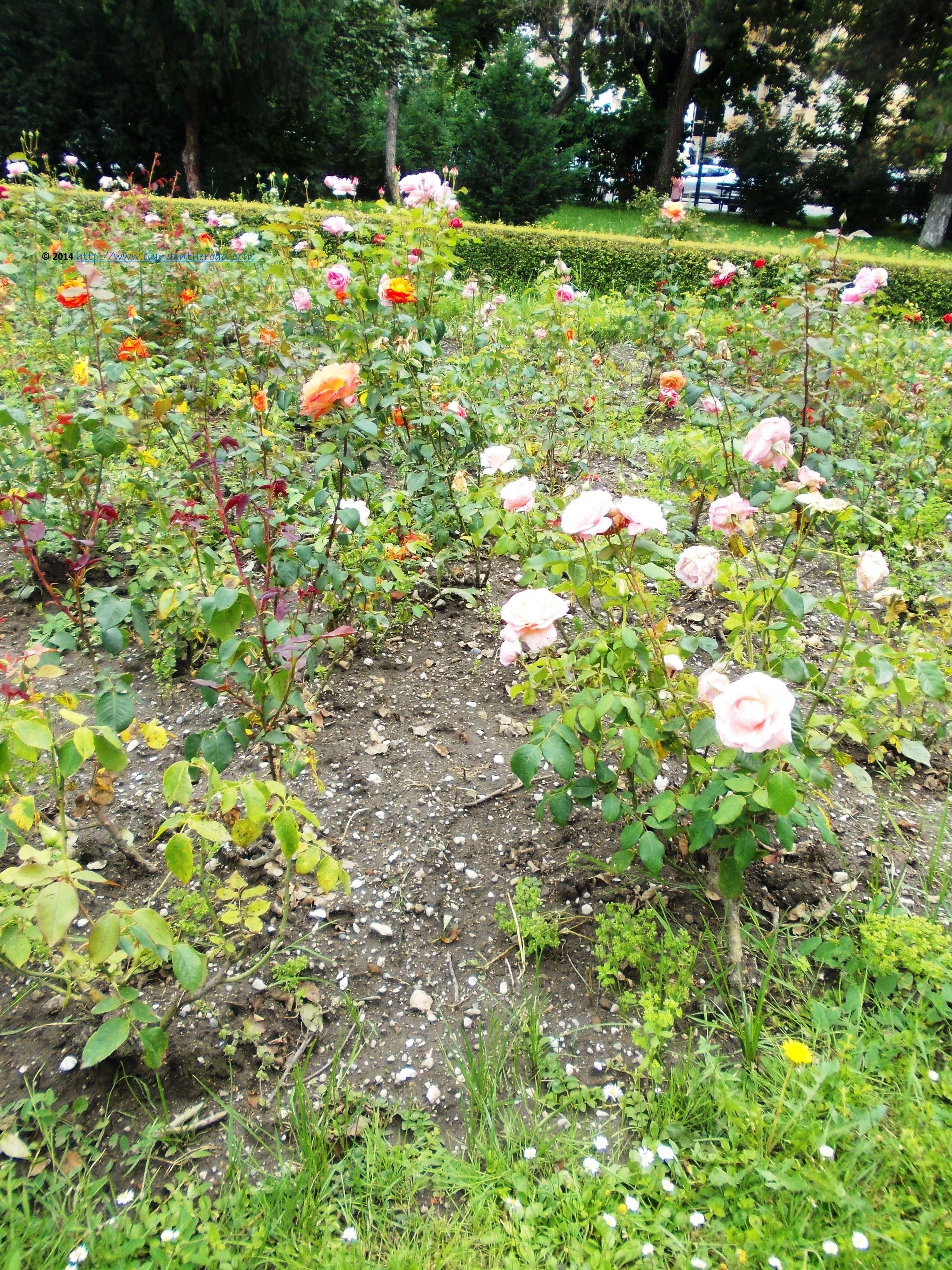 Roses in Nicolae Titulescu park Brasov Romania