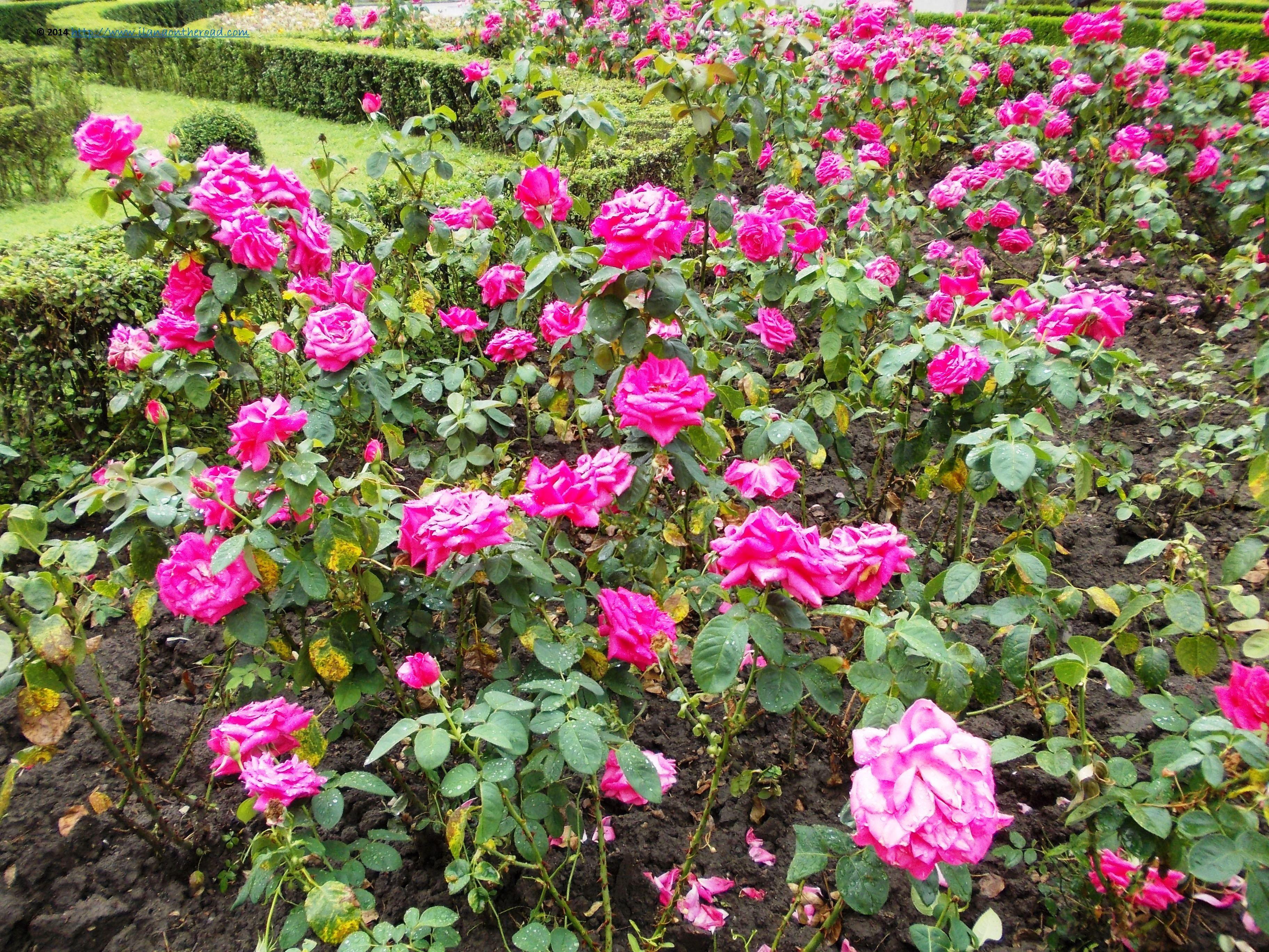 Flowers in Timisoara Romania