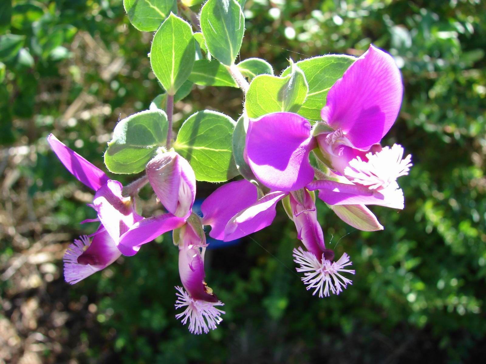 Polygala Dazzler is a hardy shrub that has attractive almost year round purple pea