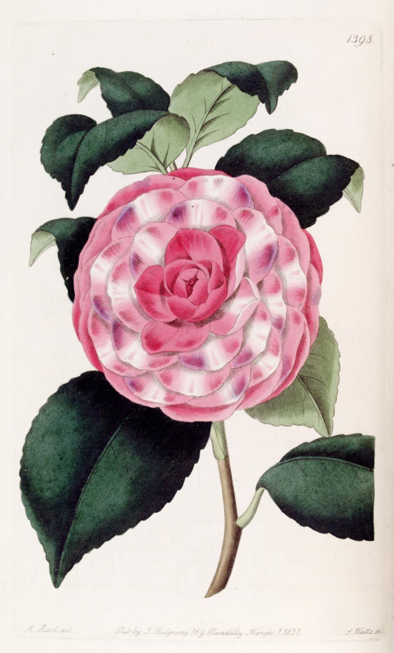 Camellia japonica var imbricata Imbricated Japan Rose Edwards s botanical register v 17 London James Ridgway 1829 1847