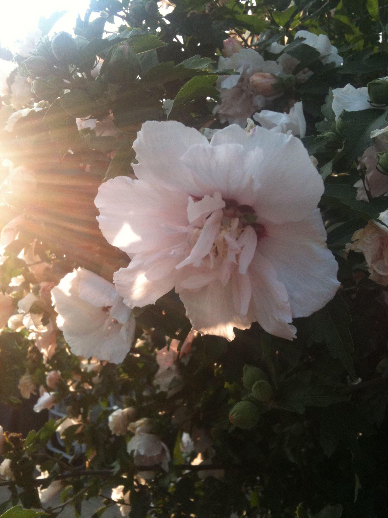 Rose of Sharon Lt Pink