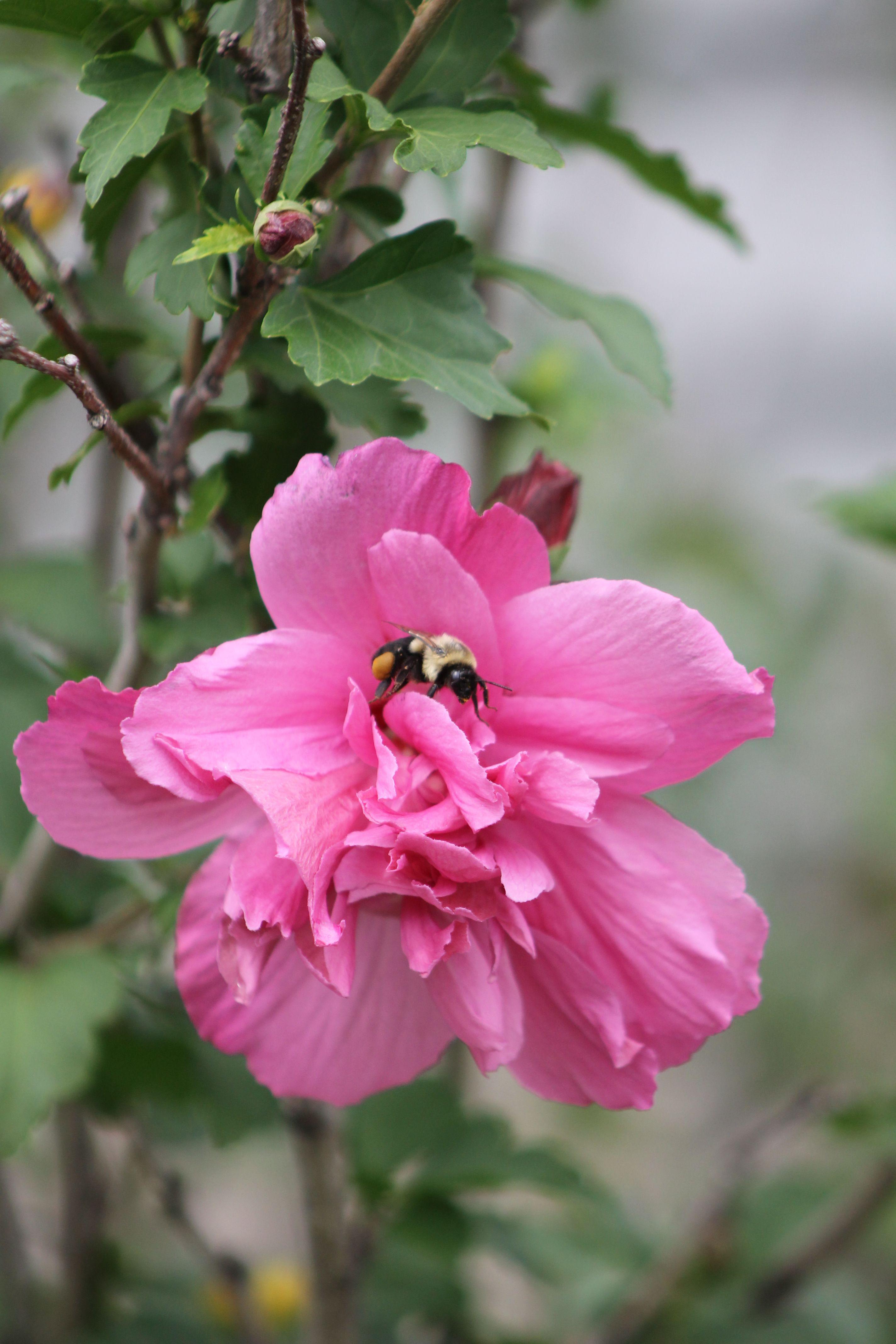Rose of Sharon bloom