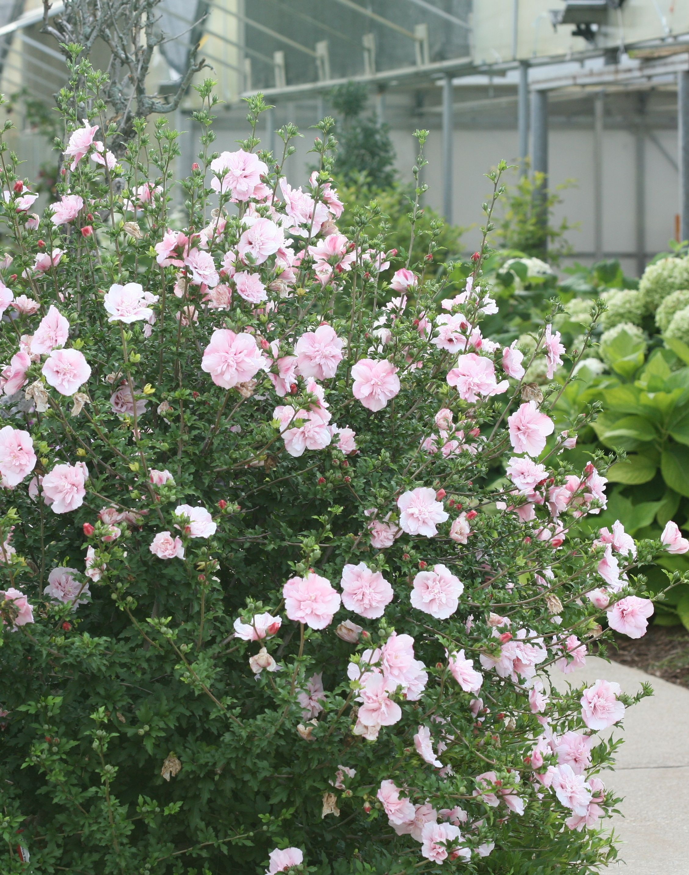 The double pink blooms of Pink Chiffon Rose of Sharon are plentiful on a plant that will reach 9 to 12 feet in height You ll be inviting hummingbirds in