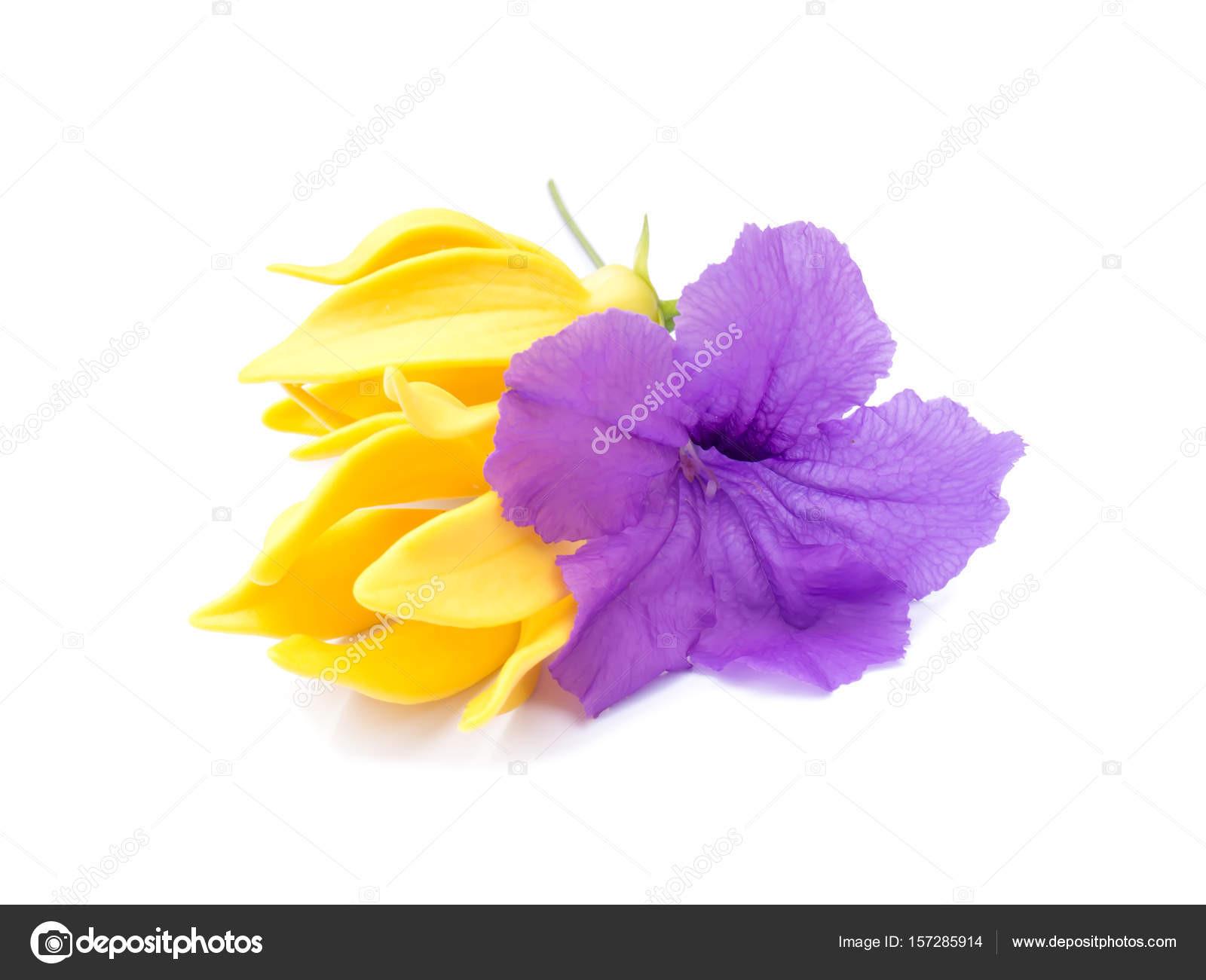 Ruellia tuberosa květin a květinové siamsk½ch Artabotrys na blém pozad — Fotografie od Noppharat th