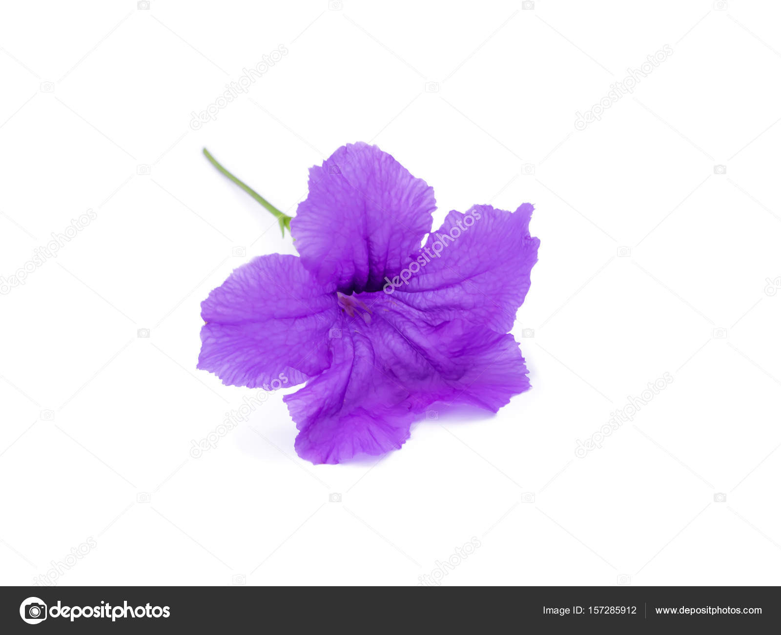 Ruellia tuberosa květina na blém pozad — Fotografie od Noppharat th
