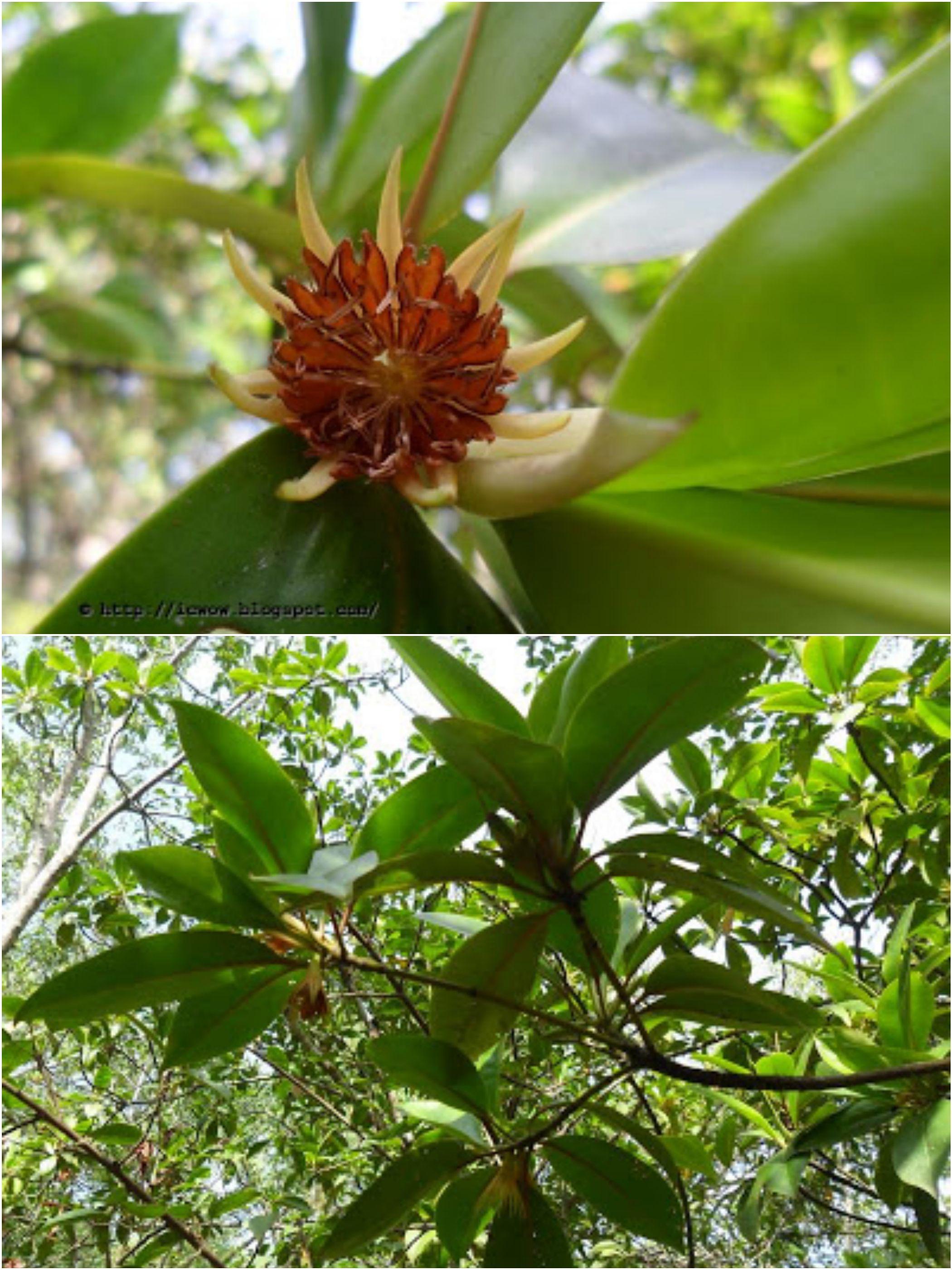 Kakra Flower কাঁকড়া ঠুল Bruguiera Gymnorhiza