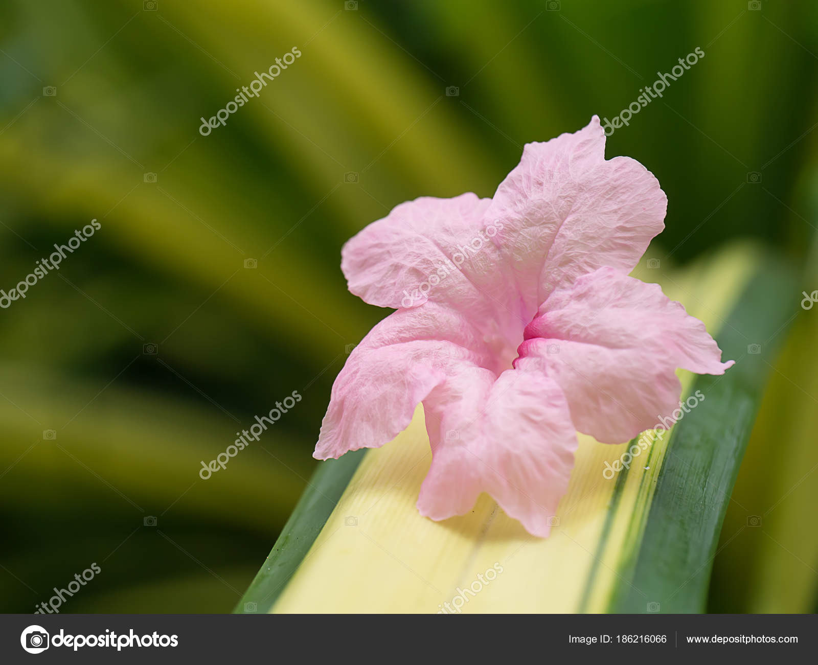 Pink Ruellia tuberosa flower on leaves with light Ruellia squarrosa Fenzi Cufod — Zdjęcie od Noppharat th