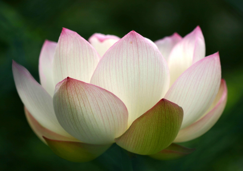 Nelumbo nucifera · lotus blossom pictures