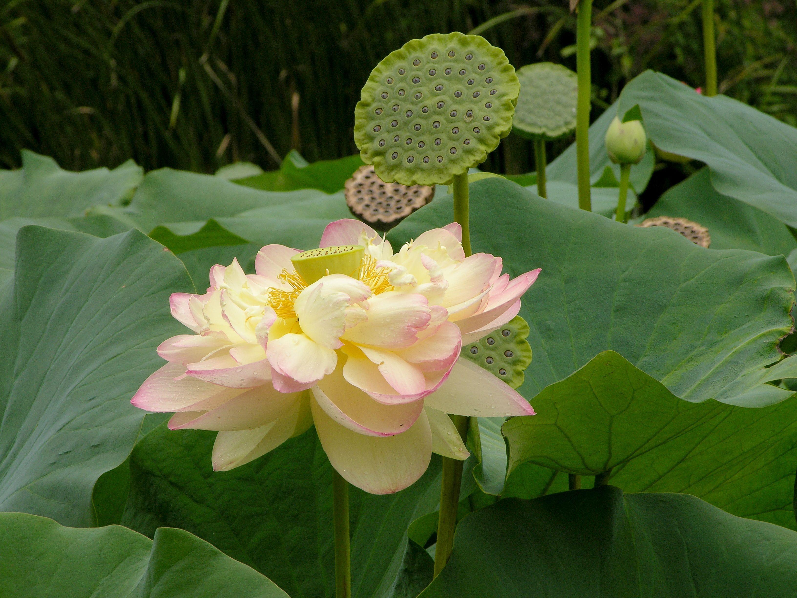 lotus gardens