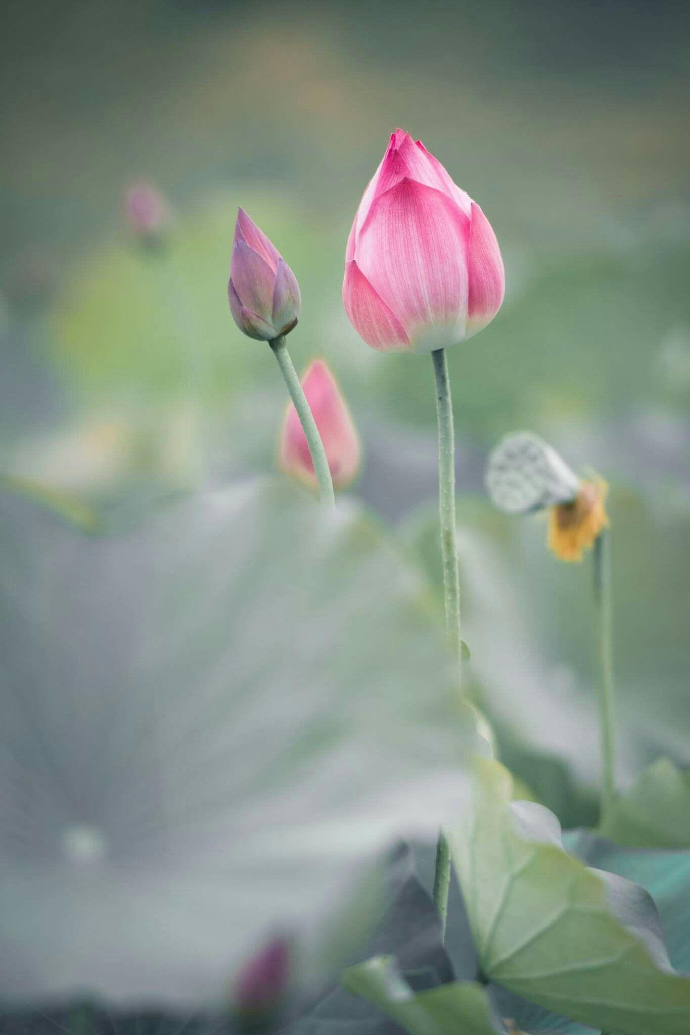 World Flora And FaunaLotus Flower Beautiful Flowers Nature Lotus Flower SymbolismLotus Flower ArtLotus PlantLotus Garden