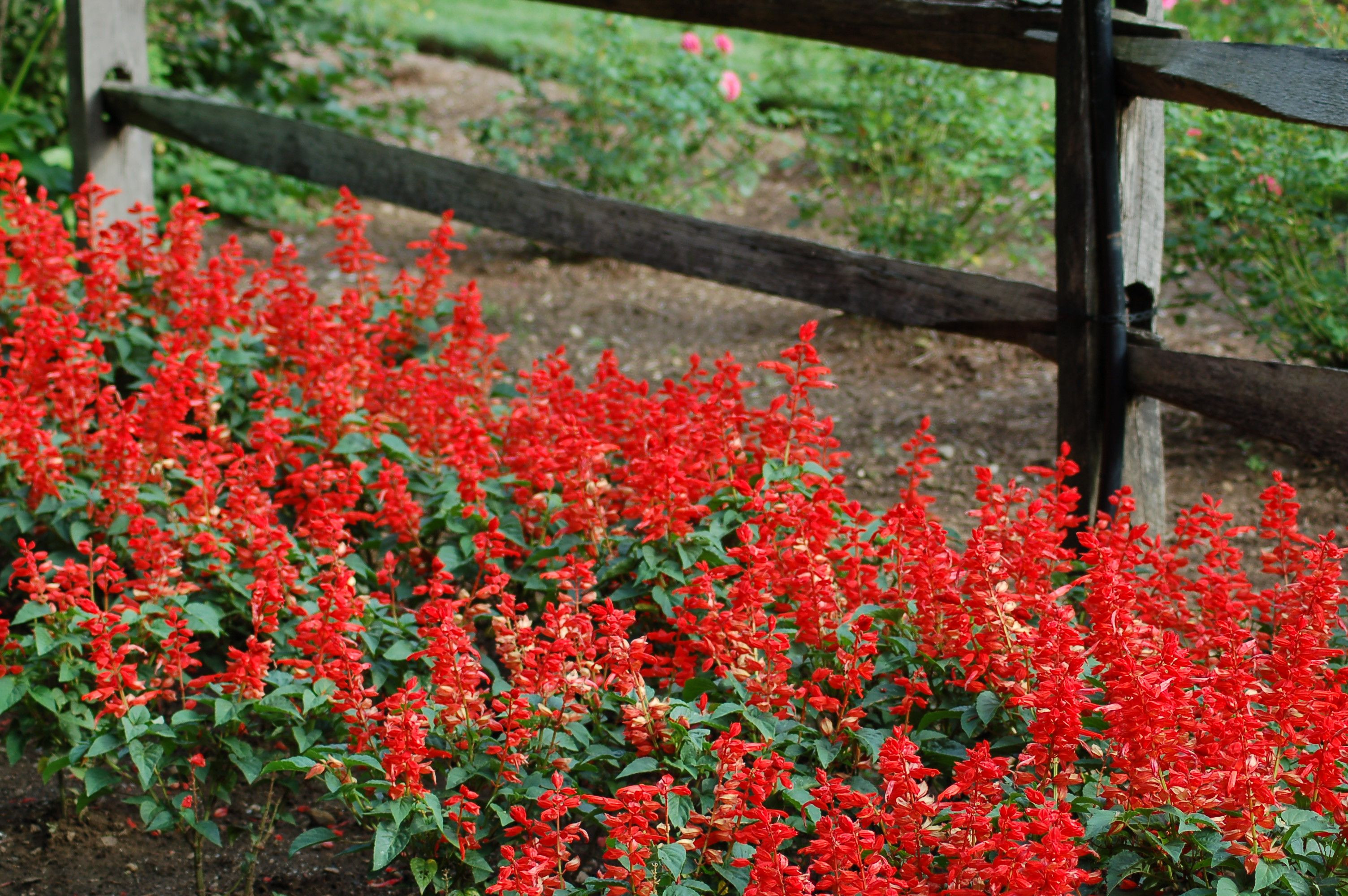 These red salvia plants make for an eye catching planting in front of a post and rail fence They are annuals but well worth planting when you need to have