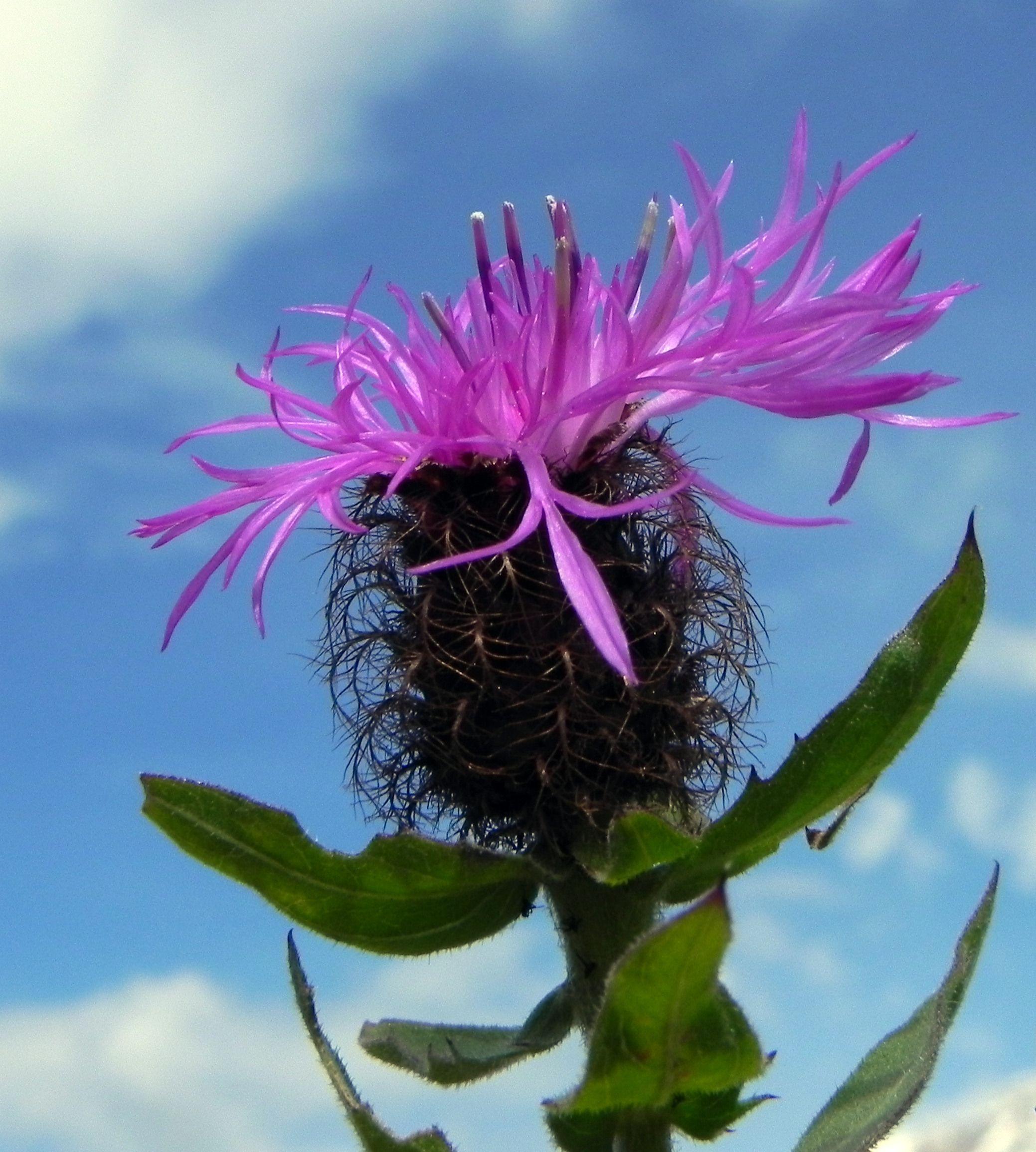 Federige Flockenblume Bluete lila Centaurea nervosa