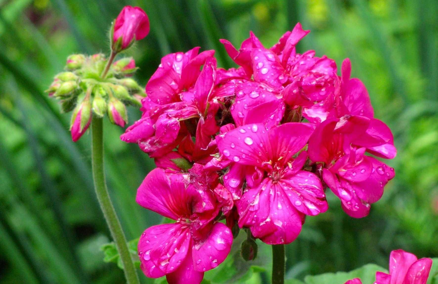 Geranium Flower 57a f9b589aa91bd1e2