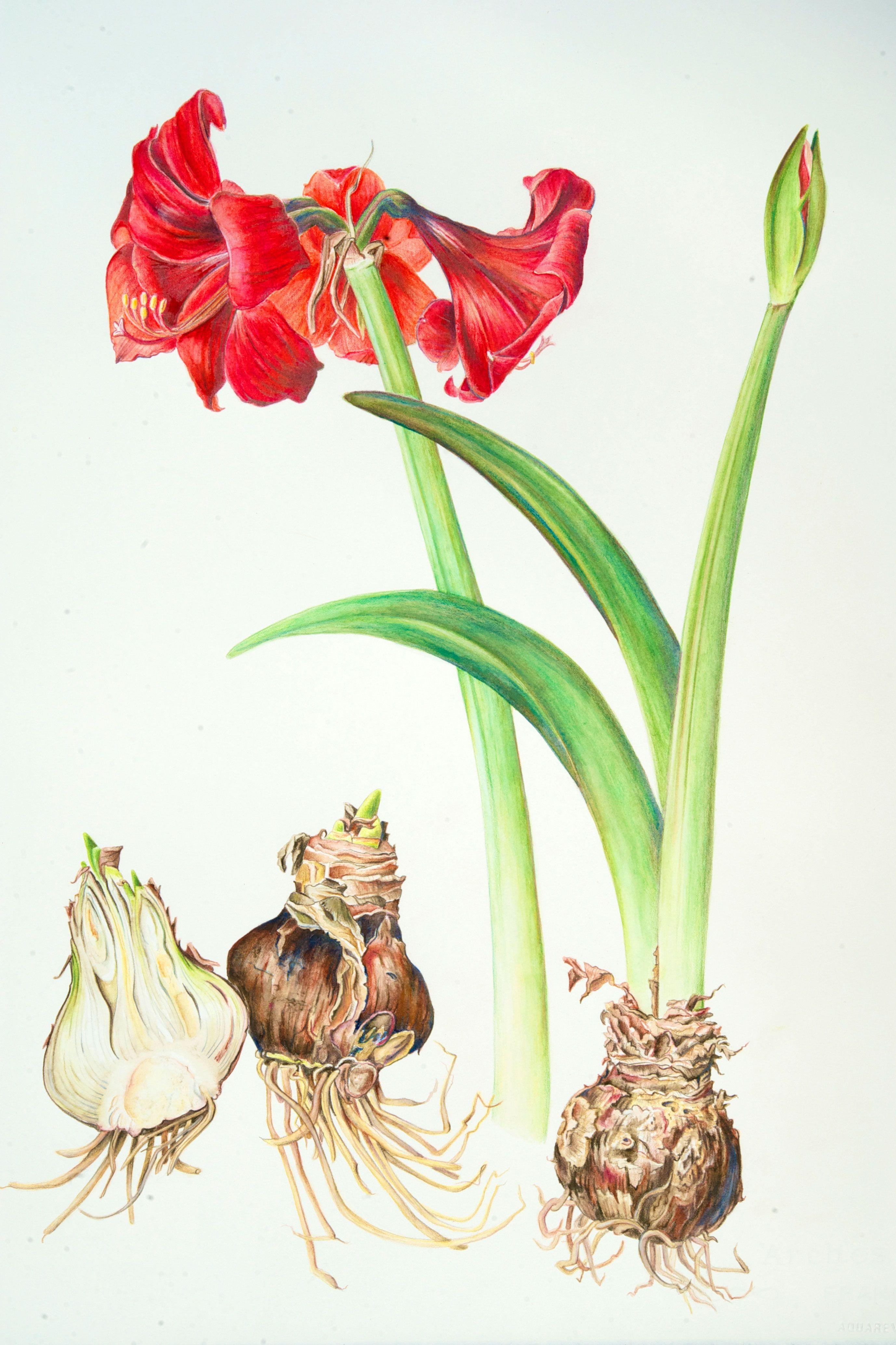 Pics For Botanical Illustration Watercolor