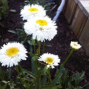 Shasta Daisy Flower Inspirational Shasta Daisies My Backyard Pinterest