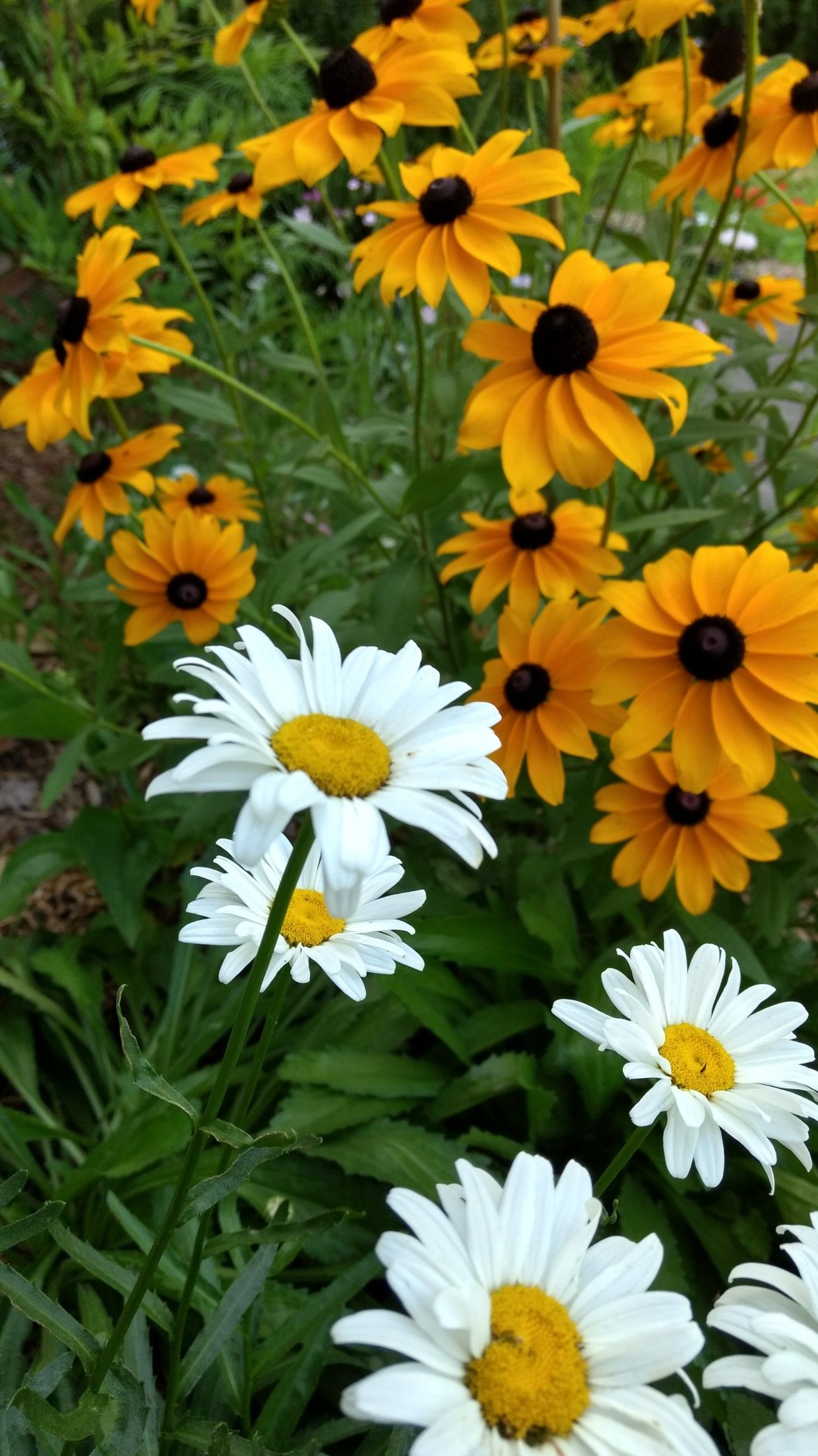 Shasta Daisy and Black Eyed Susan Year 1 home grown Summer 2017