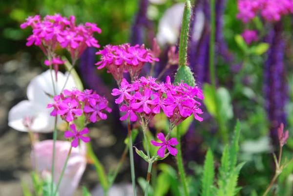 silene armeria garden catchfly