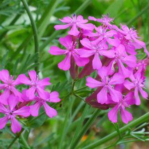 Siléne Arméria Flower Inspirational Catchfly Perennials How to Care for A Sweet William