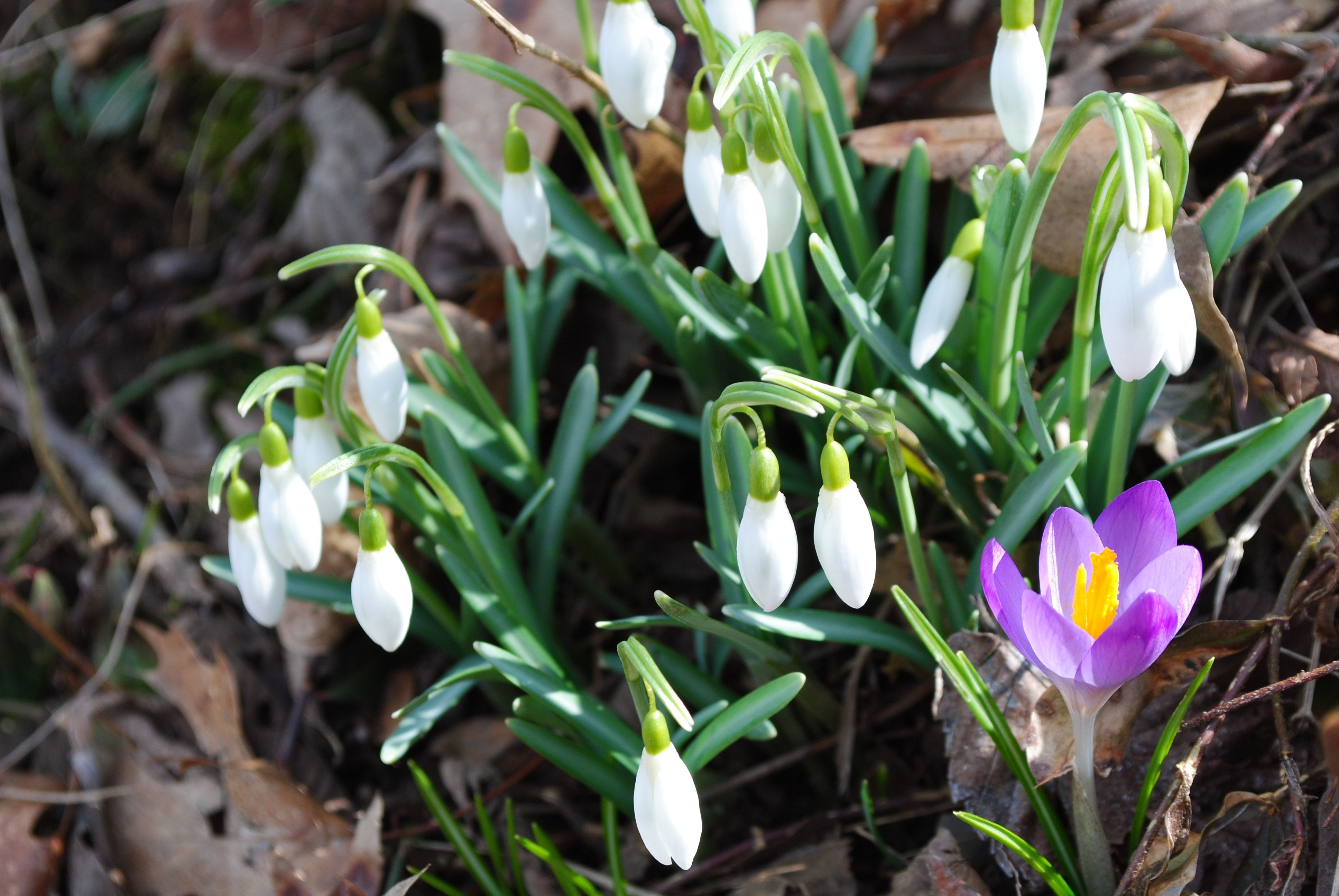Snowdrops and Tommy Crocus