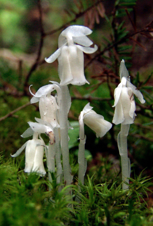 Monotropa uniflora Ghost plant Ericaceae