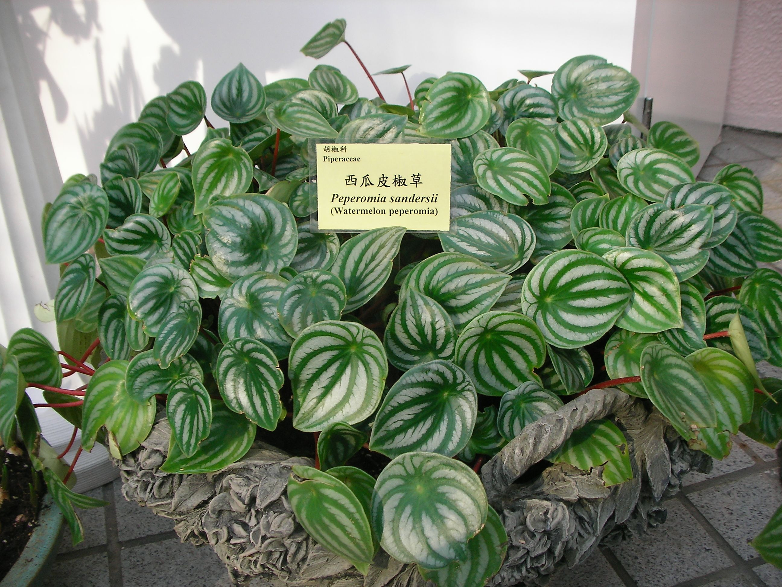 "Peperomia Sandersii P argyreia looks similar also known as ""Watermellon Peperomia"" PS Shade 1 in height"