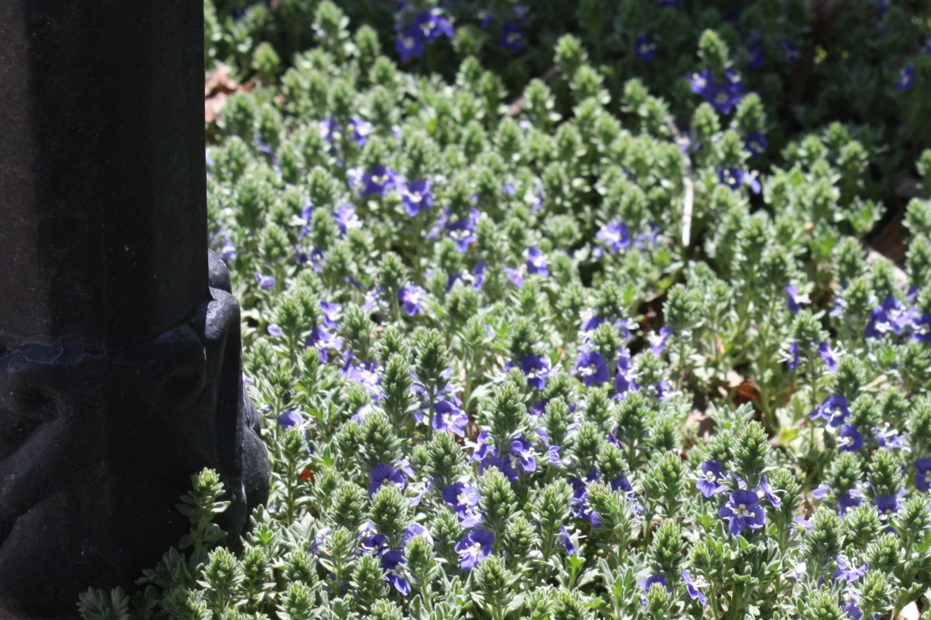 Speedwell Veronica Zone 6 Perennial Spreads nicely Easily shareable