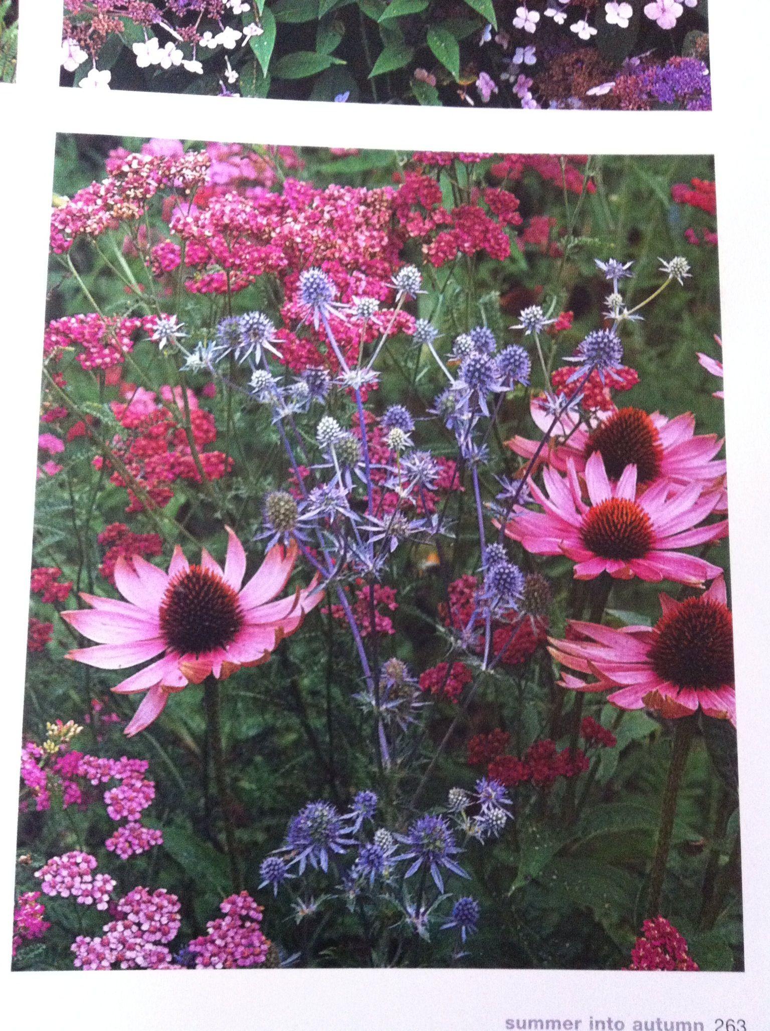 Echinacea purpurea Magnus Eryngium Blue Glitter and Achillea millefolium Cerise Queen