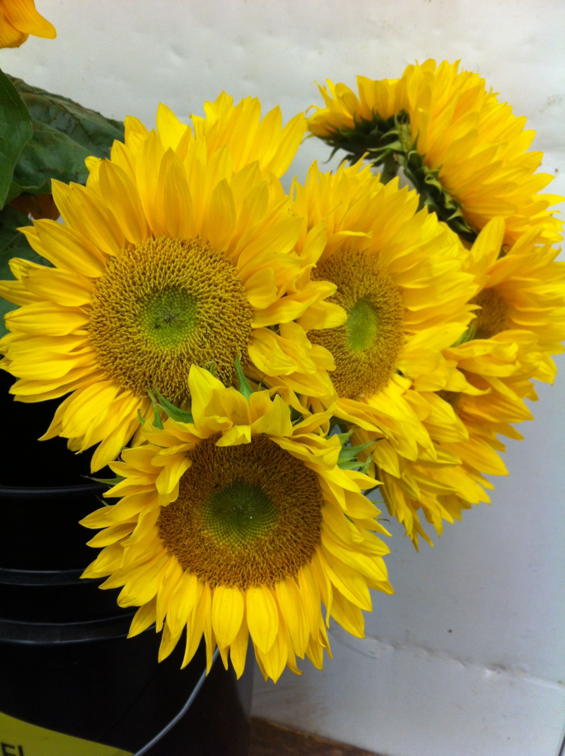 Munchkin Sunflowers