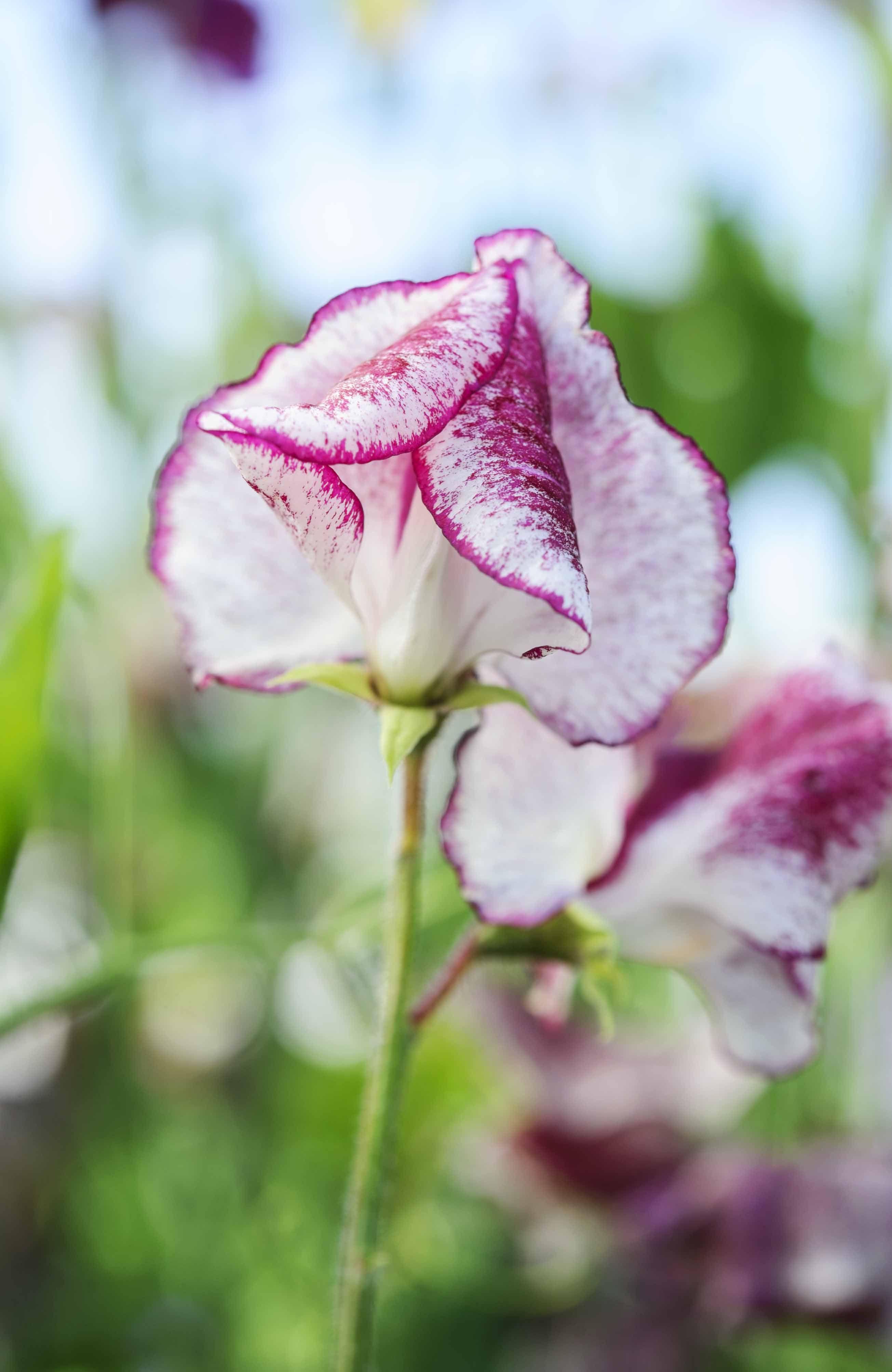 Lathyrus odoratus Wiltshire Ripple sweet pea