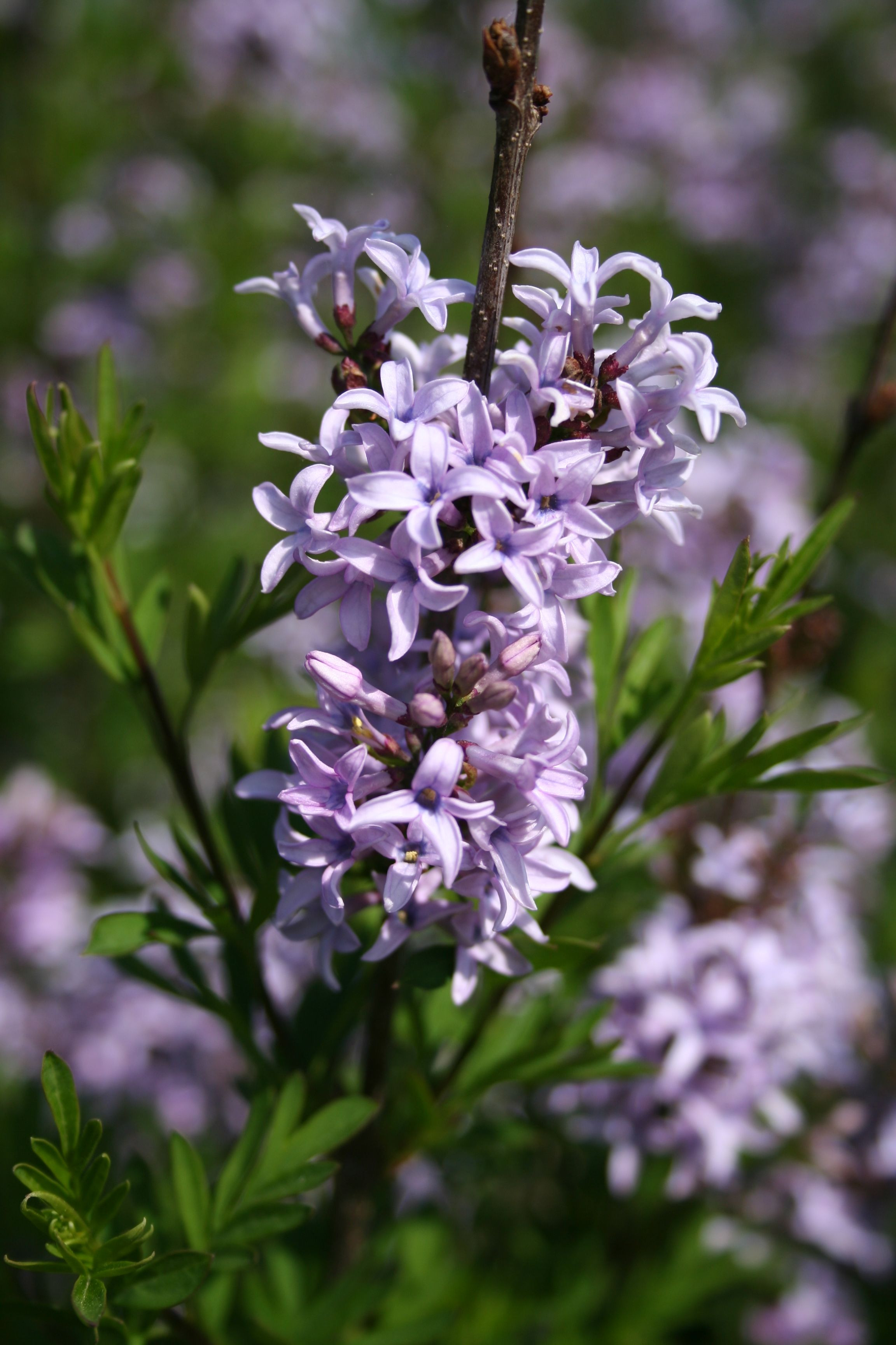 Plant of the week 16 Syringa x laciniata There are Lilacs of all shades