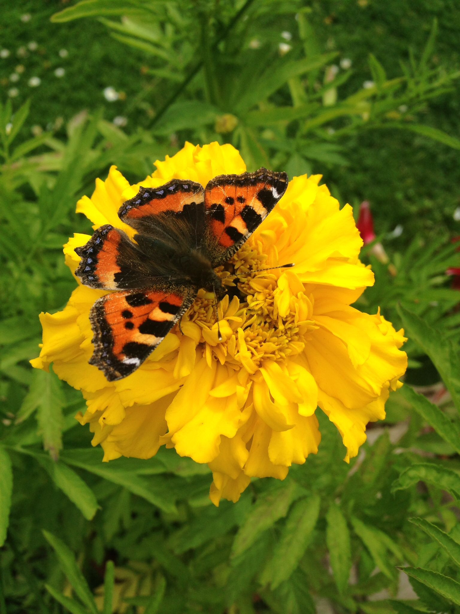 Marigold and butterfly ButterflyFlowersGardening
