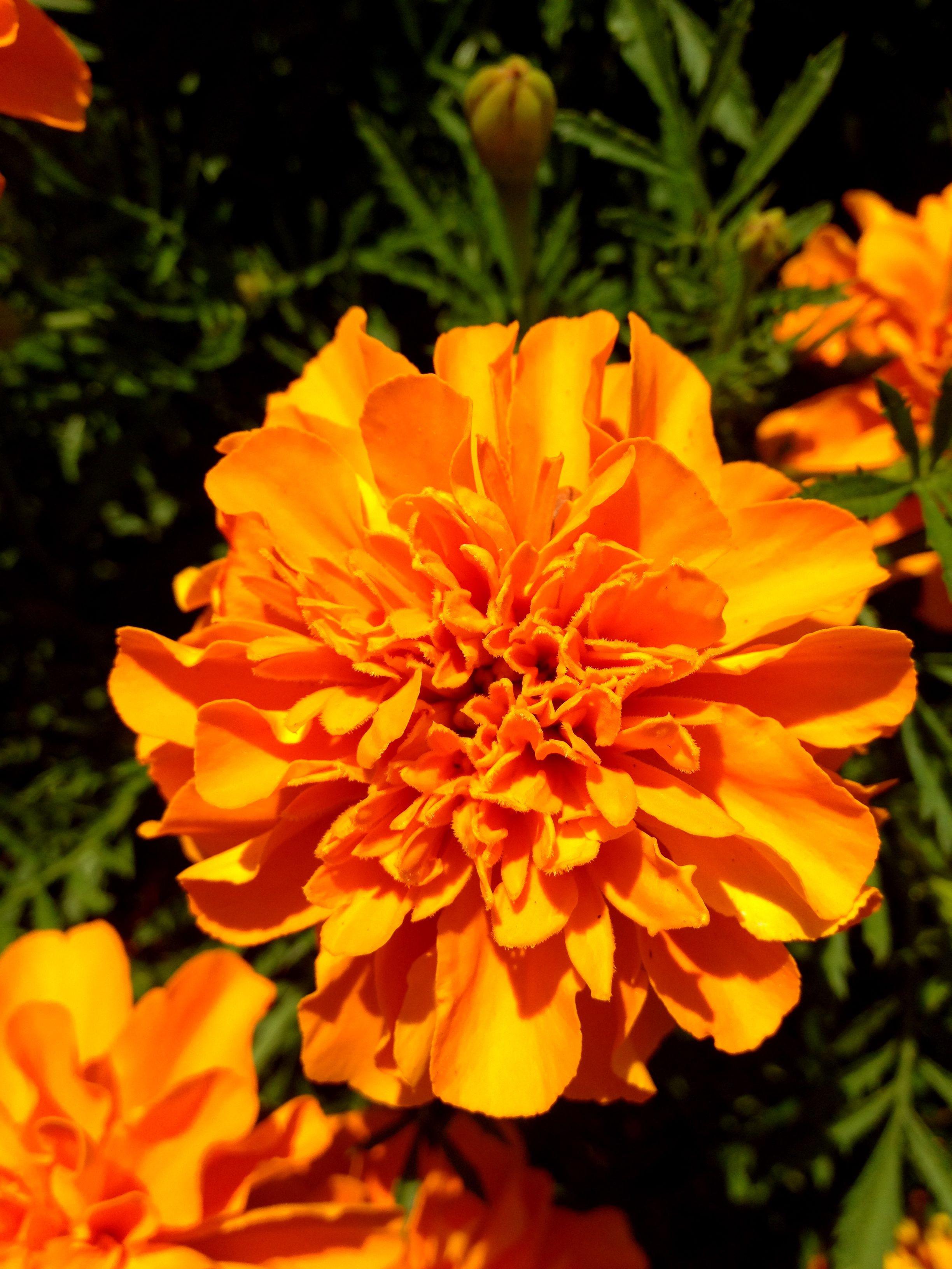 Summer marigolds
