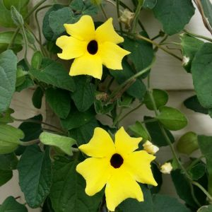 Thunbergia Alata Flower Inspirational Black Eyed Susan Vines This is In the Family Aganthaceae Image