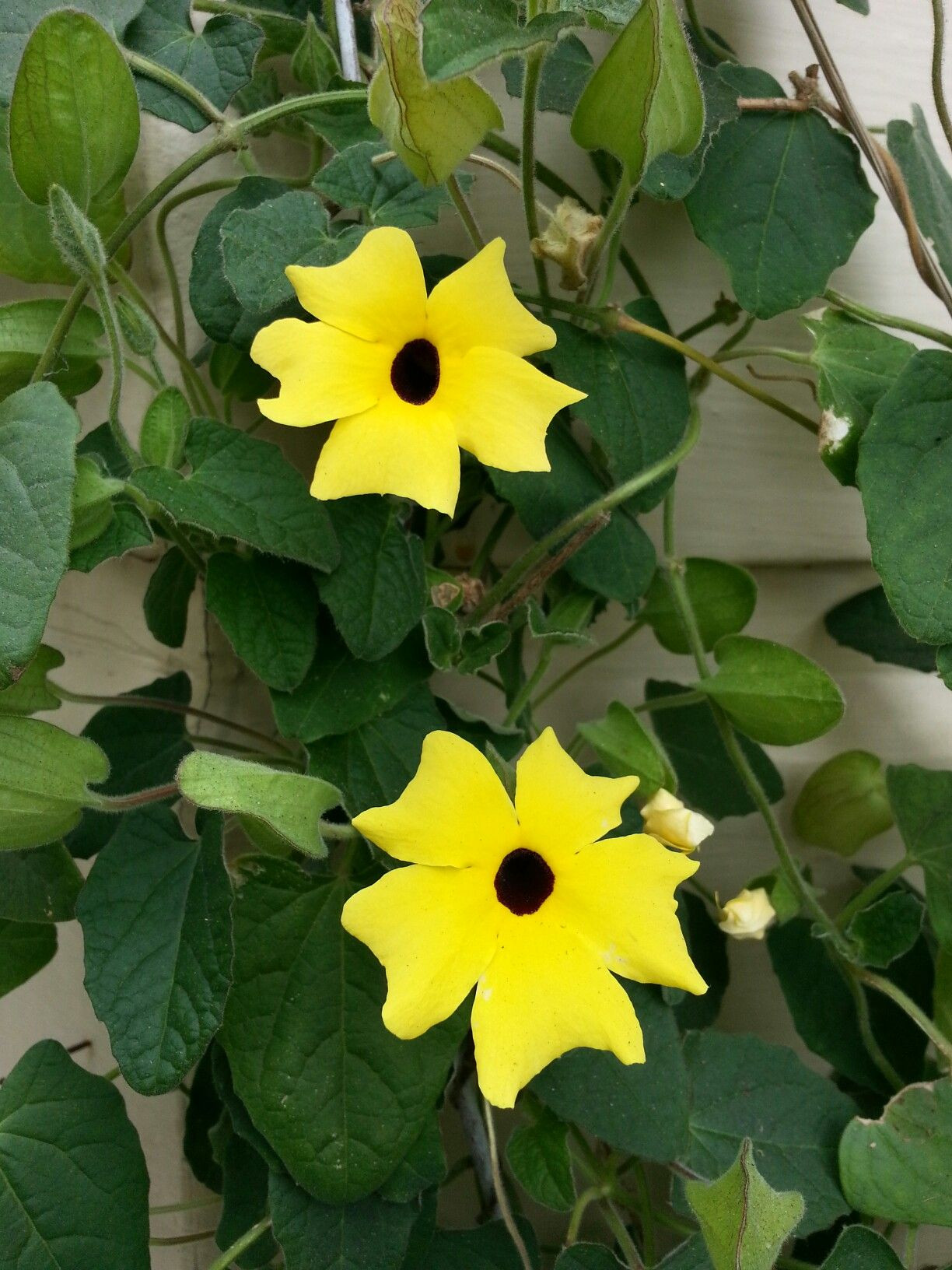 Black Eyed Susan Vines This is in the family Aganthaceae Image taken by sharonlgrace