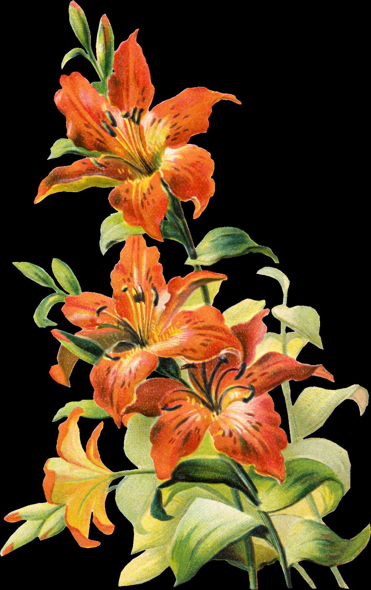 Free Tattoo Designs Lily Flower Fresh Free Vintage Tiger Lily Flower Ephemera Pinterest