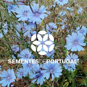Trachelium Caeruleum Enfoque Flower Lovely Sementes De Portugal 2017