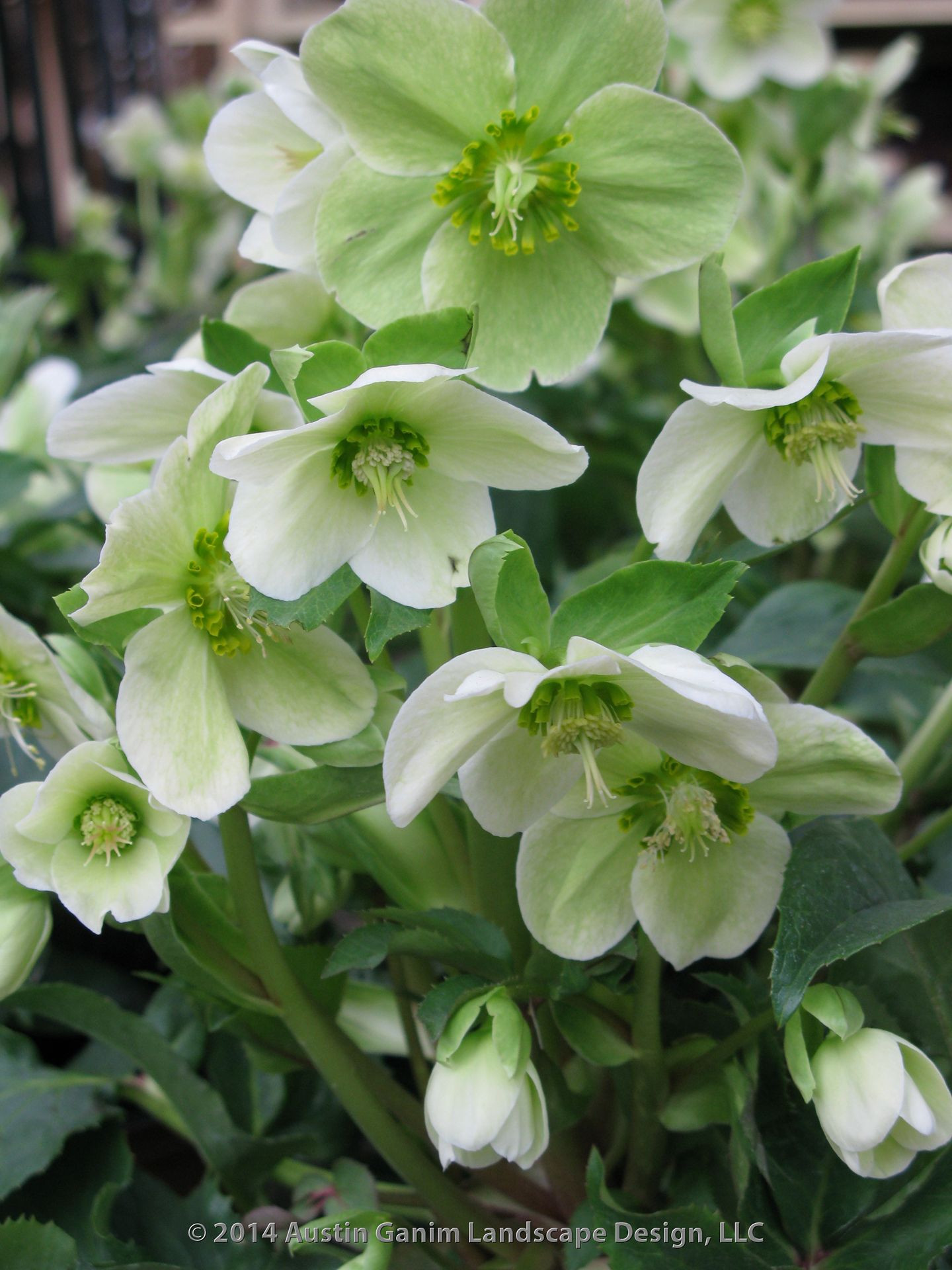 White flowering Helleborus nigra also know as the Christmas rose or Black Hellebore winter flowering perennial semi evergreen foliage