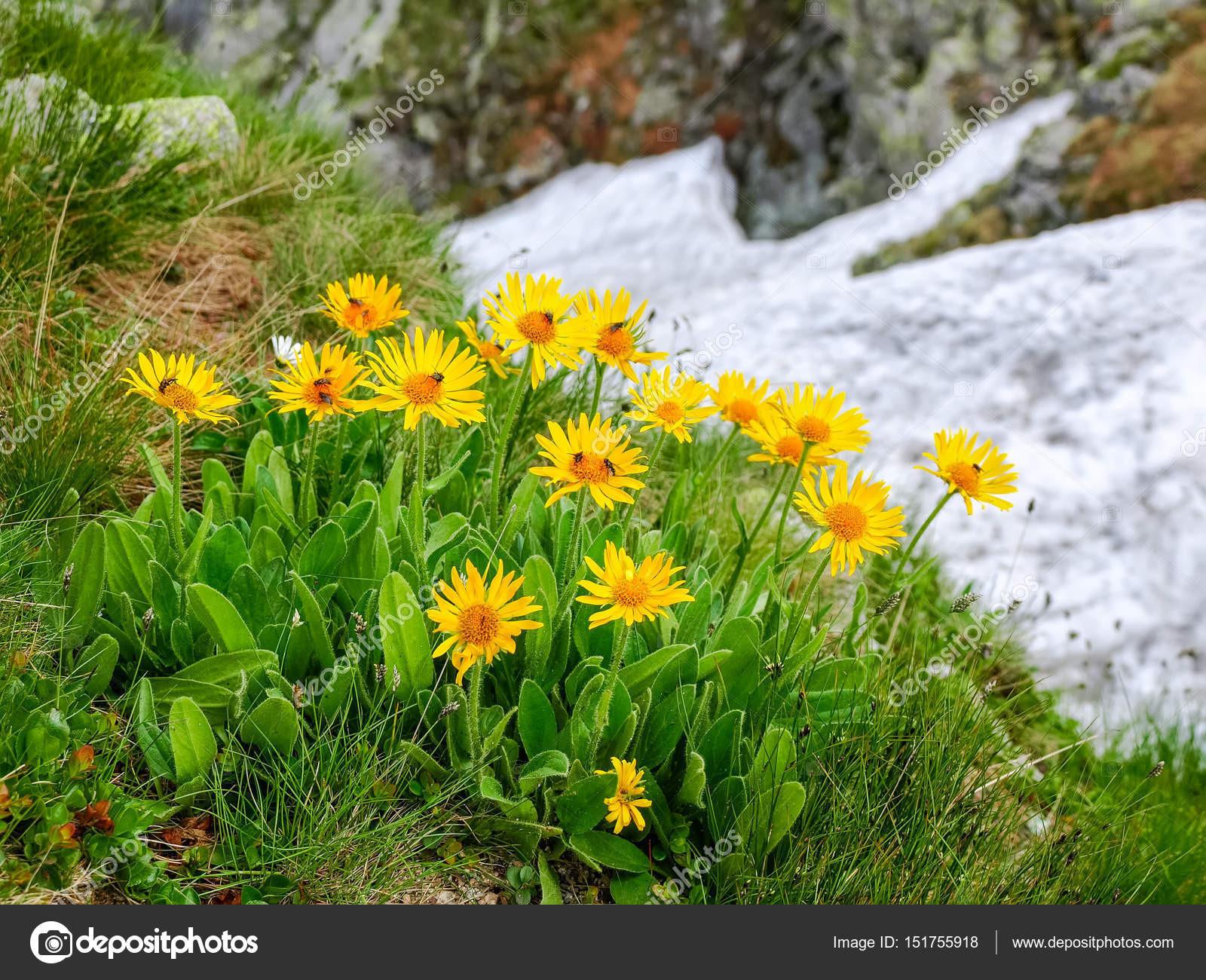 Skupina květy Arnica montana na rozmazané pozad skal a snowfield v Tatrách — Fotografie od anmbph