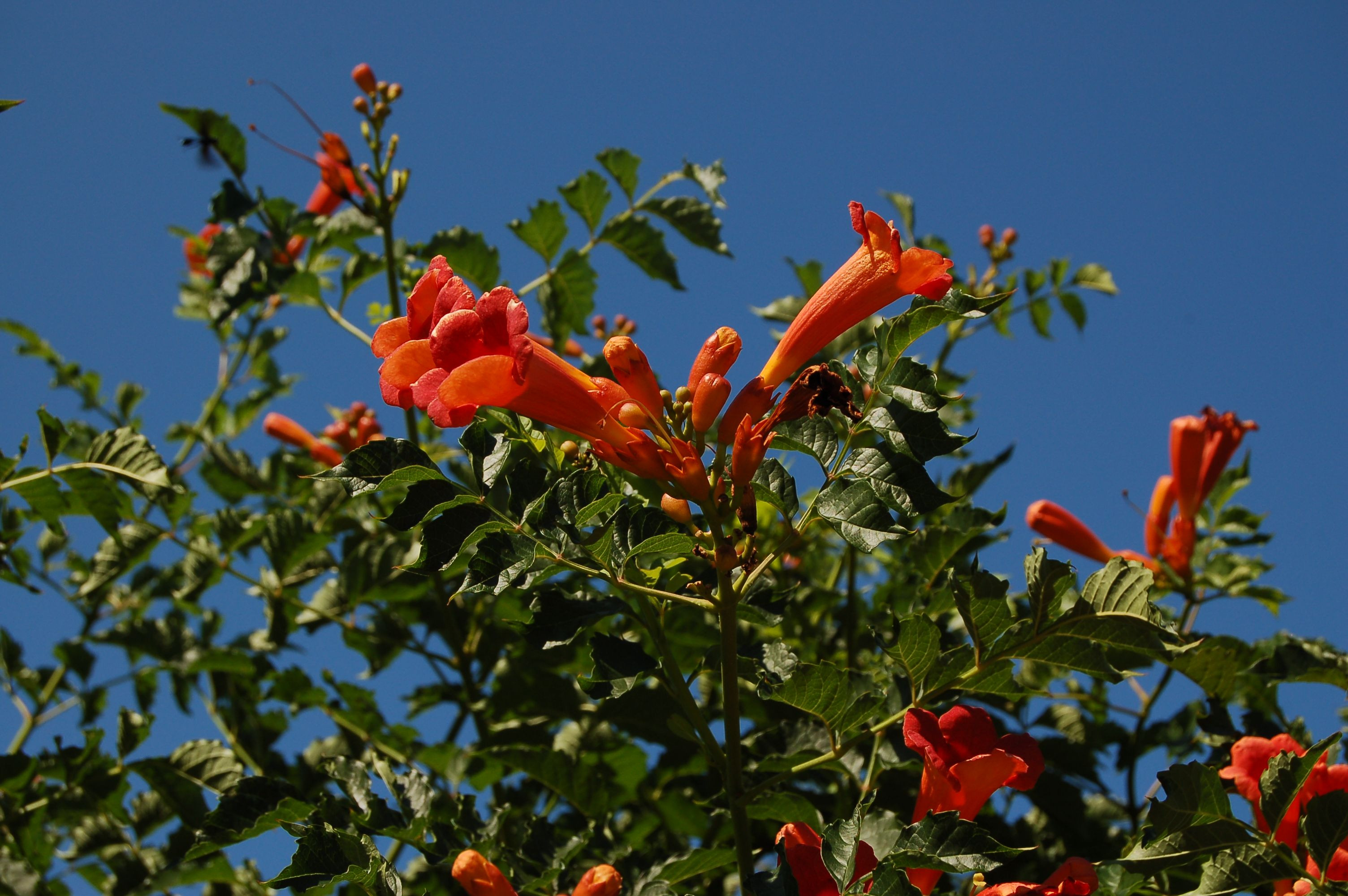 Resist the temptation to plant trumpet vine even though it draws hummingbirds Here s why spreading of trumpet vines
