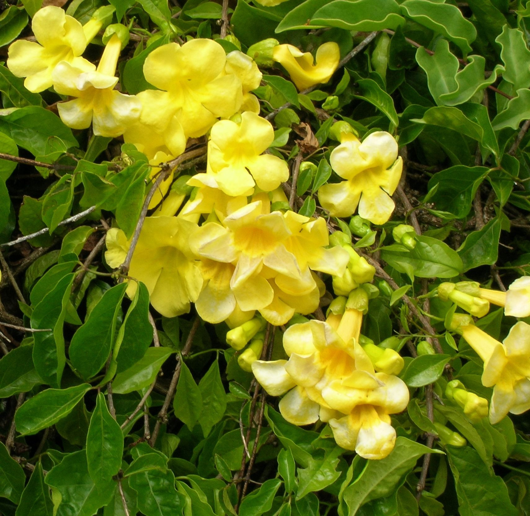 Yellow Trumpet Vine Monrovia Yellow Trumpet Vine