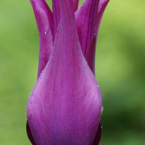 Tulipa Pulchella Flower Lovely Tulip Burgundy Dutch Garden World