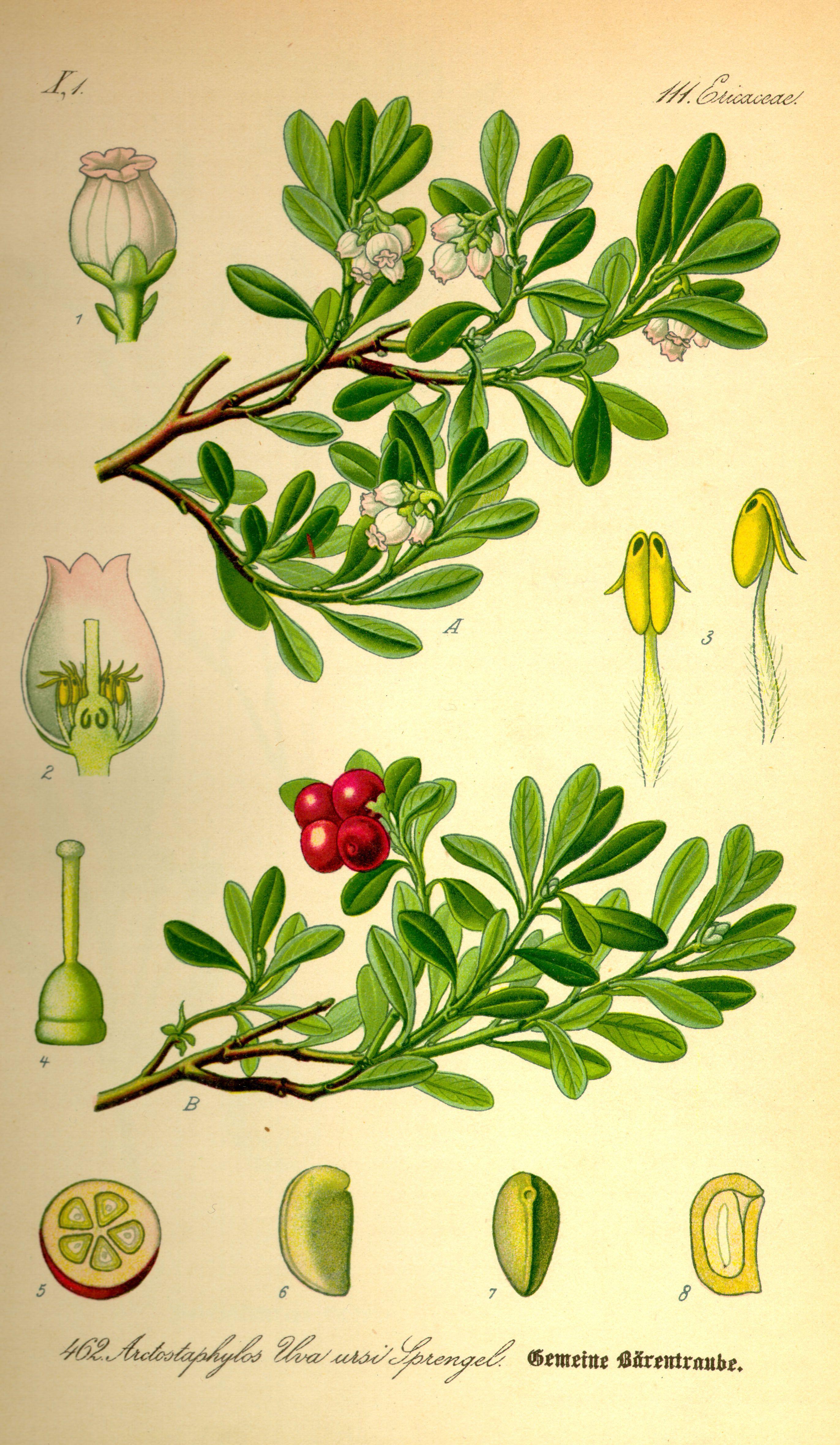 mon bearberry from Thomé Flora von Deutschland –sterreich und der Schweiz 1885