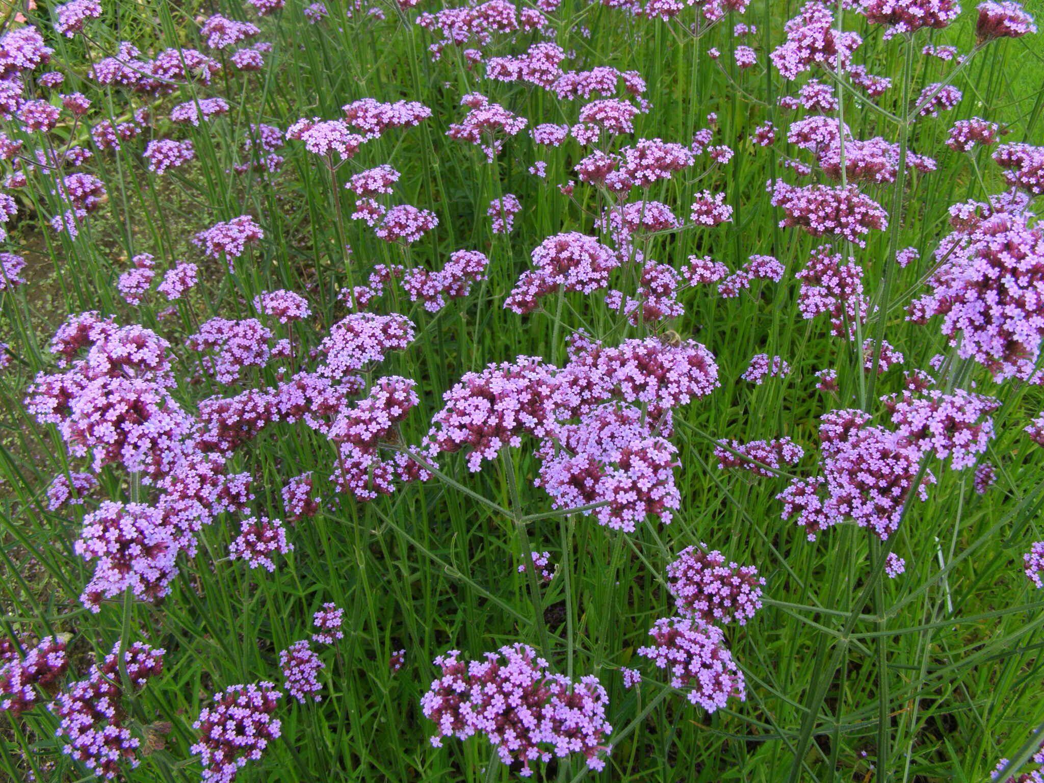 Explore Purple Tops Garden Plants and more ijzerhard verbena