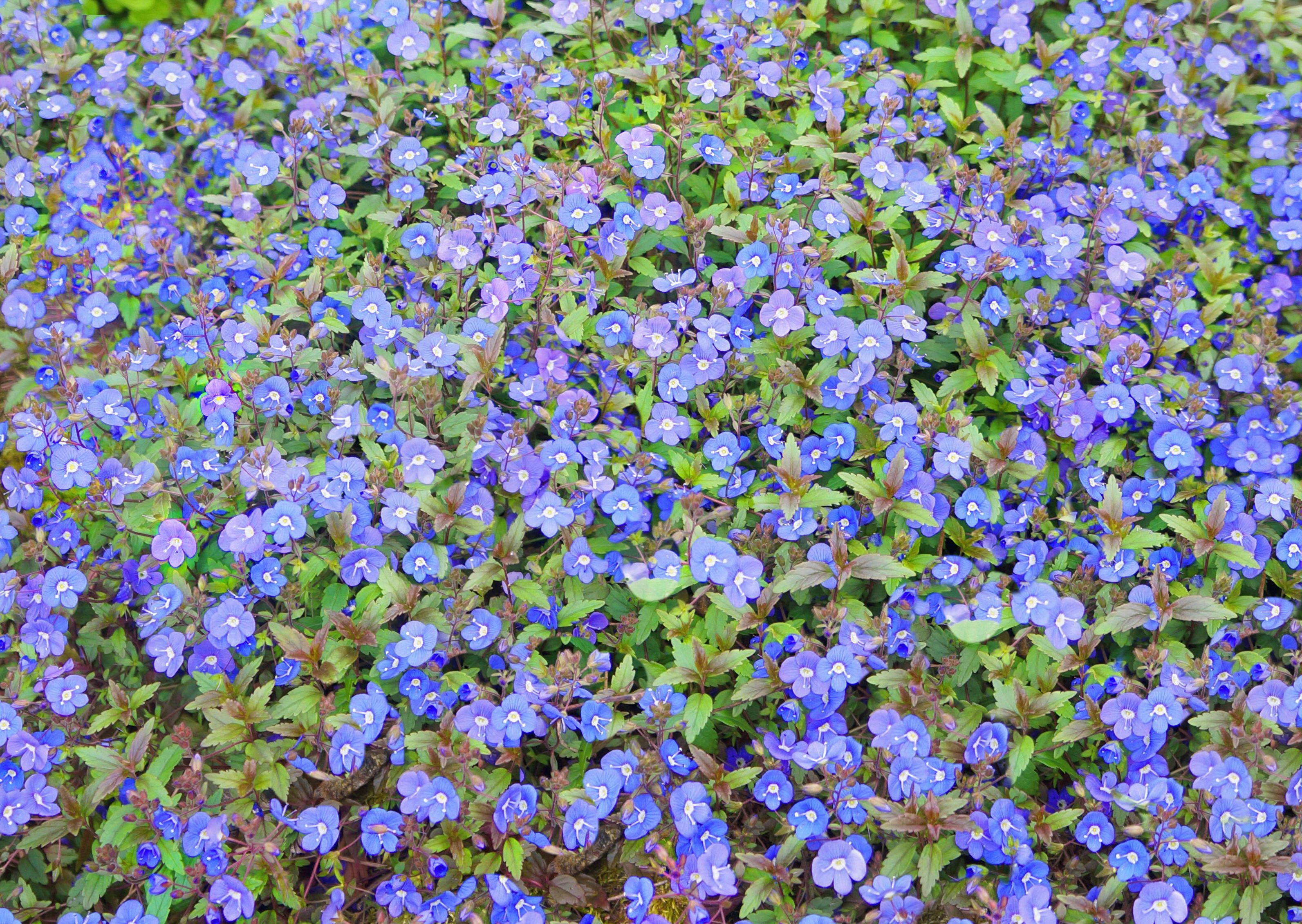 Veronica Georgia Blue mon name Speedwell Produces copious amounts of beautiful round deep blue flowers in mid season The small dark green leaves