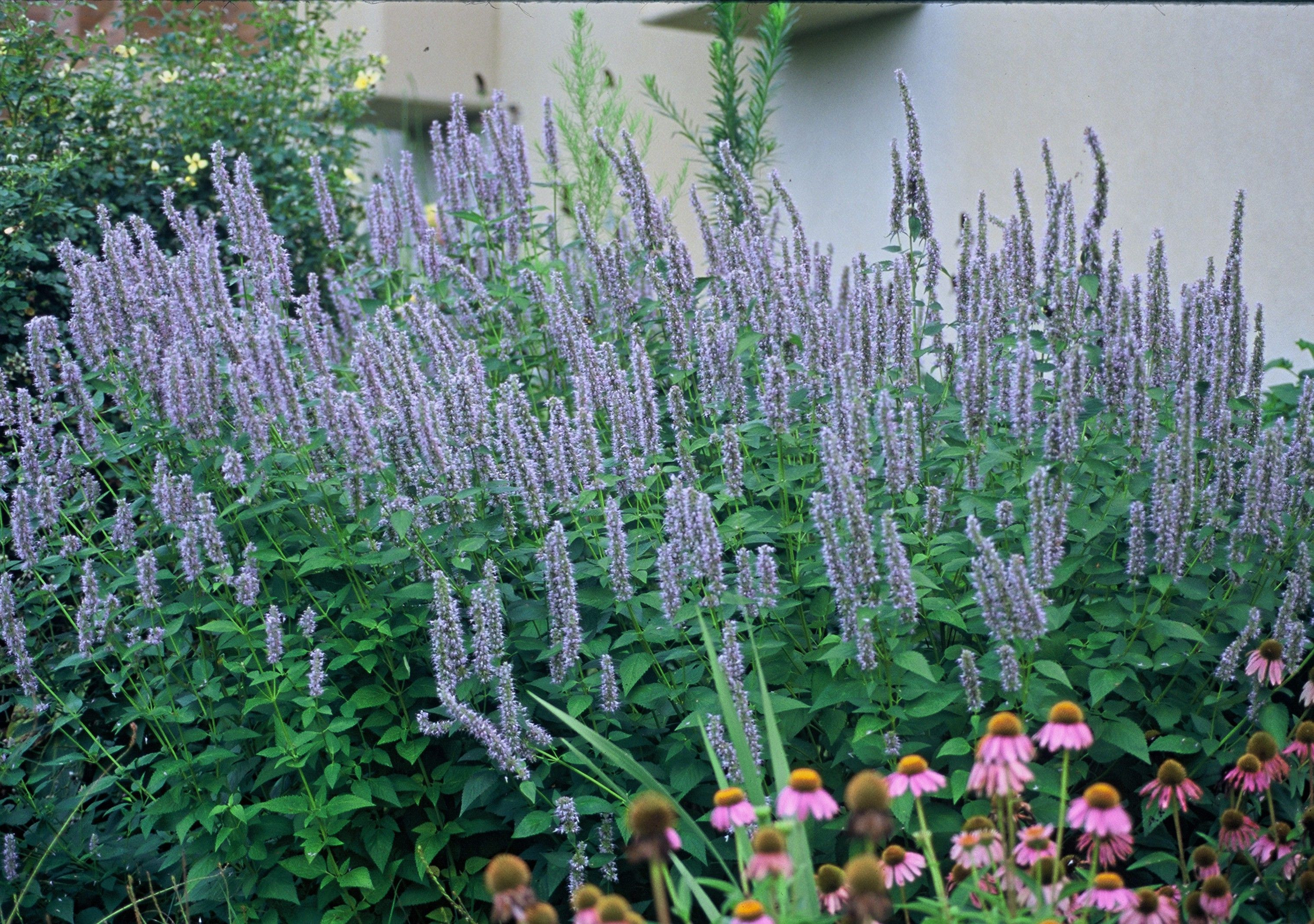 Stately spikes of Agastache Blue Fortune pair well with Black Eyed Susan in this garden scene Description from pinterest