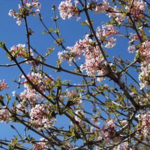 Viburnum Farreri Flower Best Of Farrer Viburnum Viburnum Farreri Variety Of Plants
