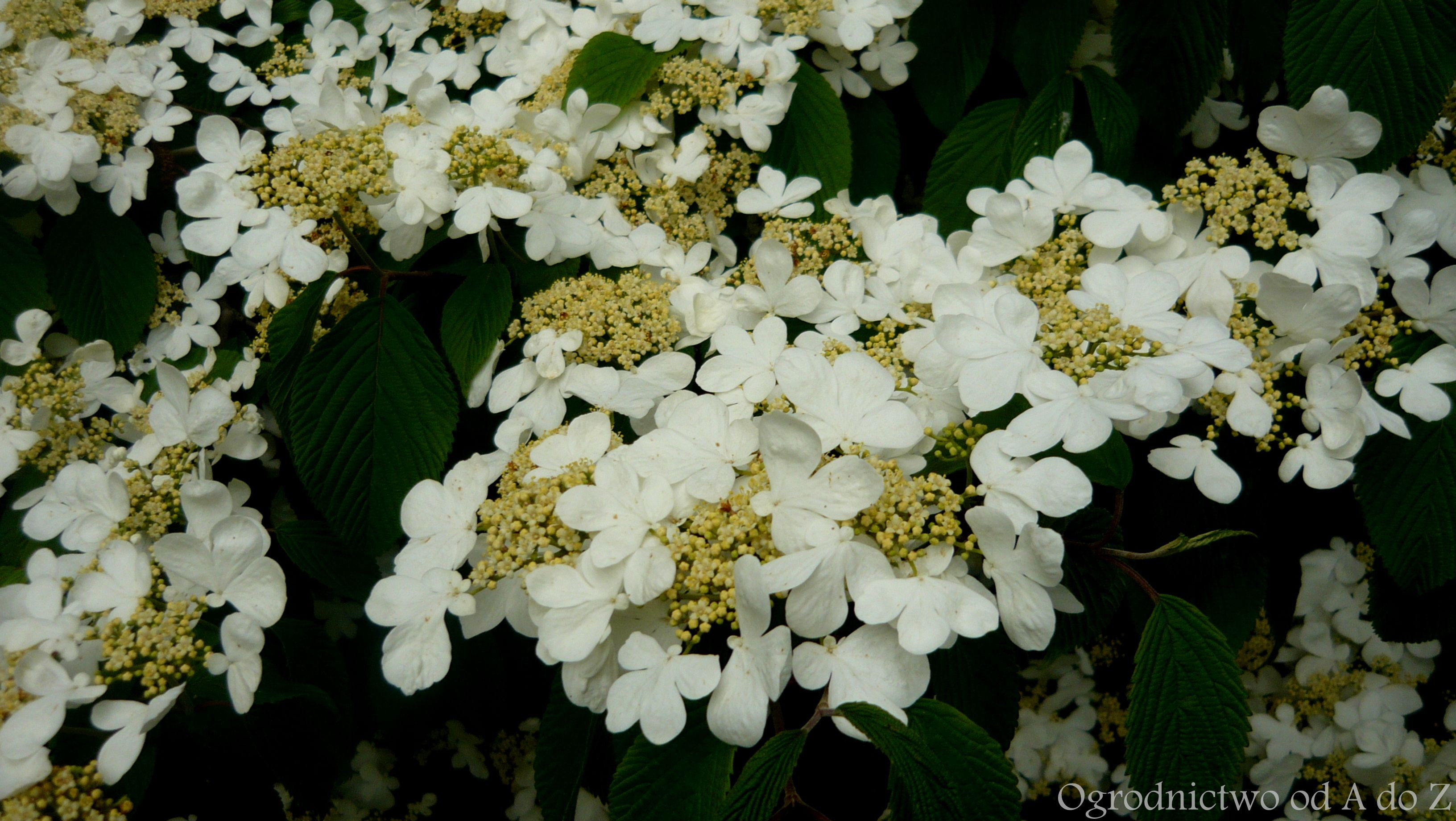 Kalina japońska Viburnum plicatum fmentosum