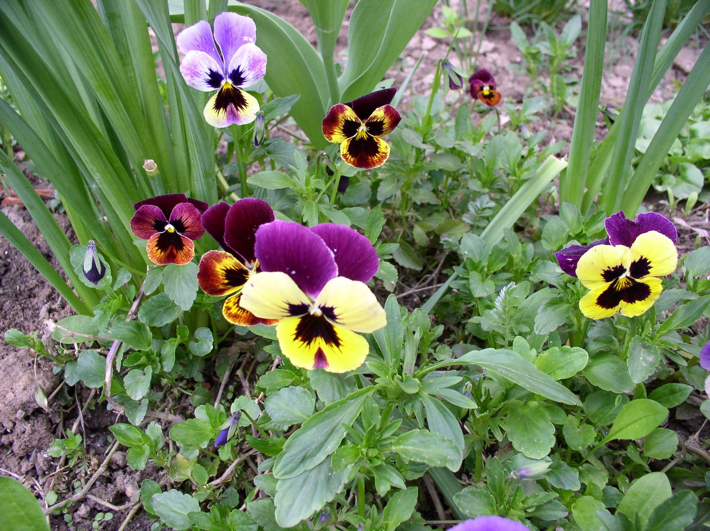 Amores perfeitos em um jardim exibindo folhagem flores e botµes Fotografia Hanna